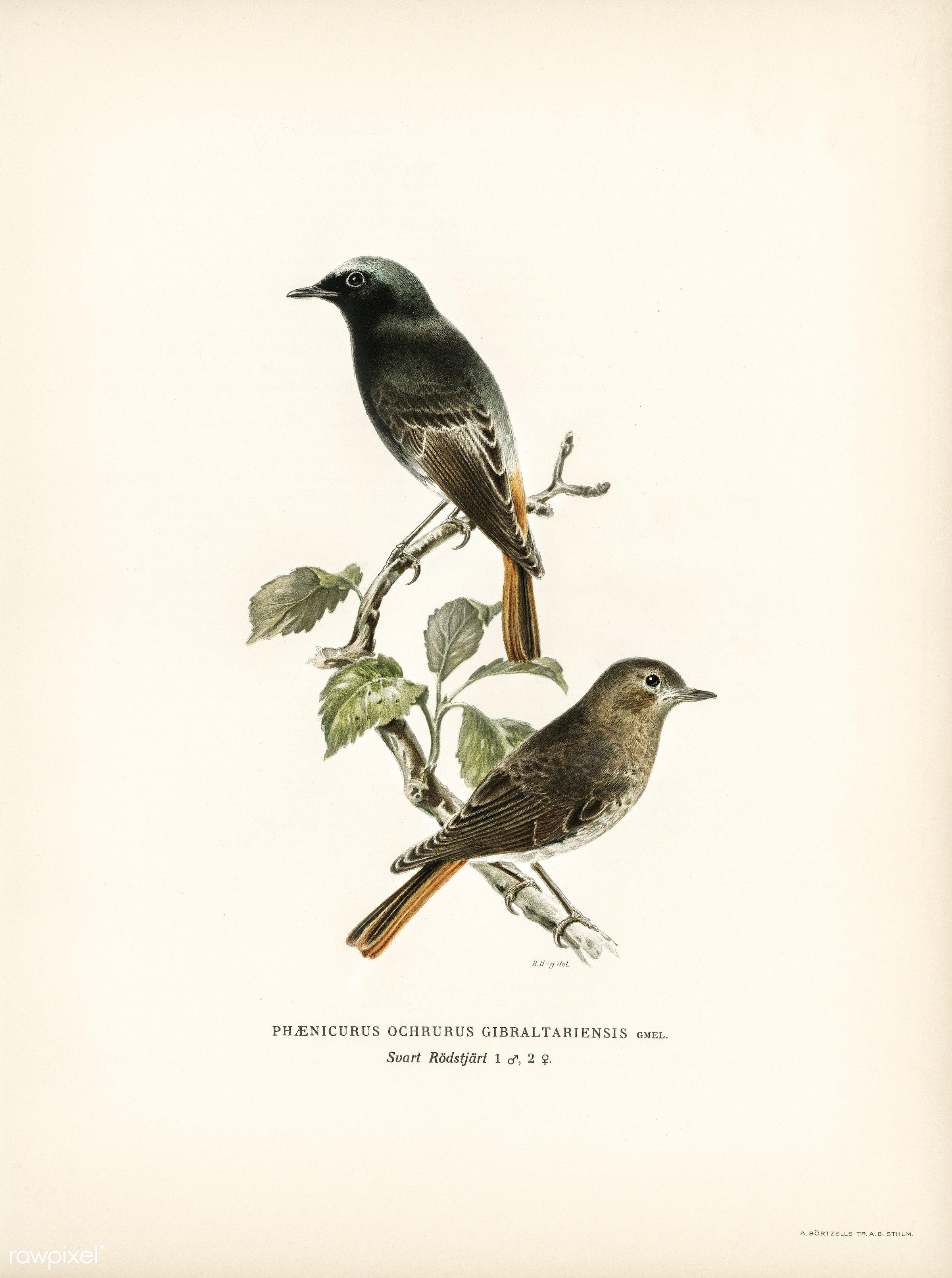 European black redstart (phoenicurus ochruros gibraltariensis) illustrated by the von Wright brothers. Digitally enhanced...