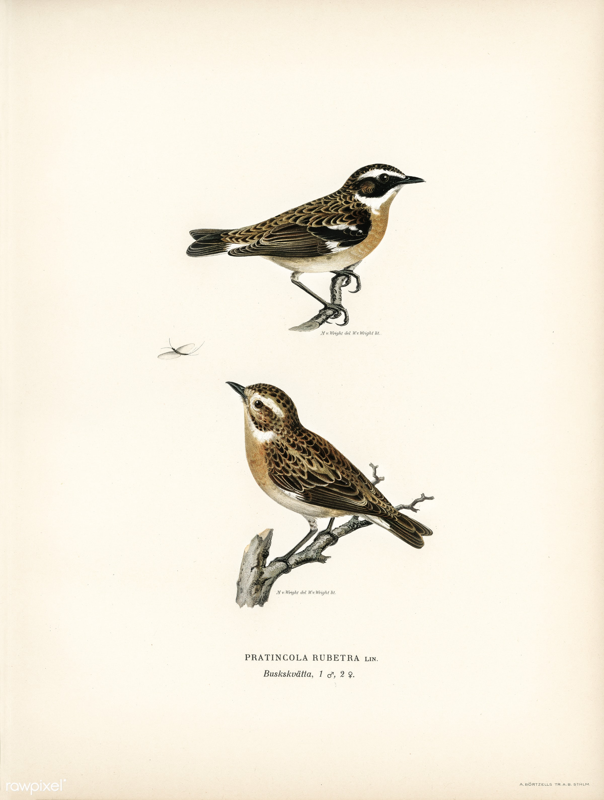 Whinchat 1♀ 2♂ (Pratincola rubetra) illustrated by the von Wright brothers. Digitally enhanced from our own 1929 folio...
