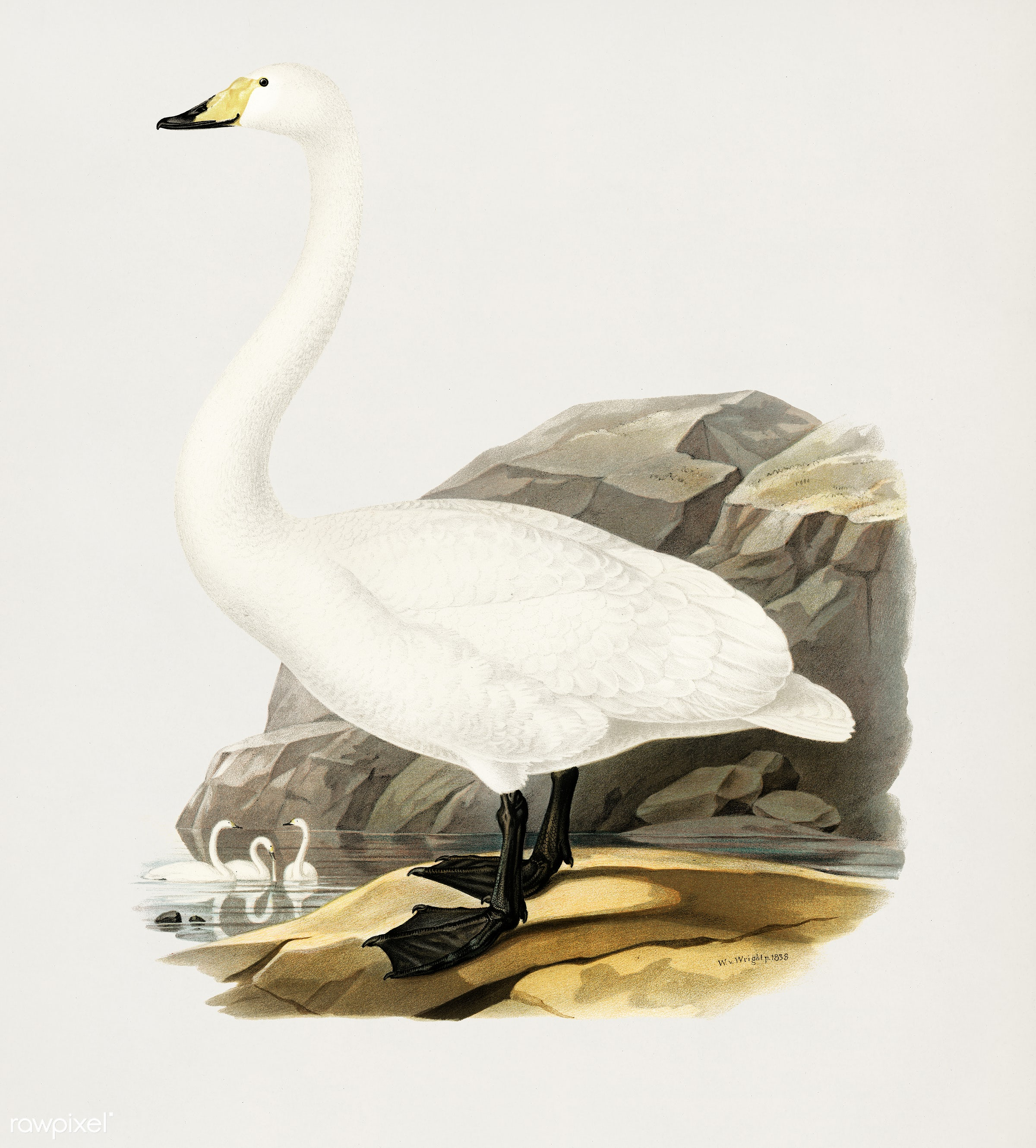 Whooper Swan (Cygnus cygnus) illustrated by the von Wright brothers. Digitally enhanced from our own 1929 folio version of...