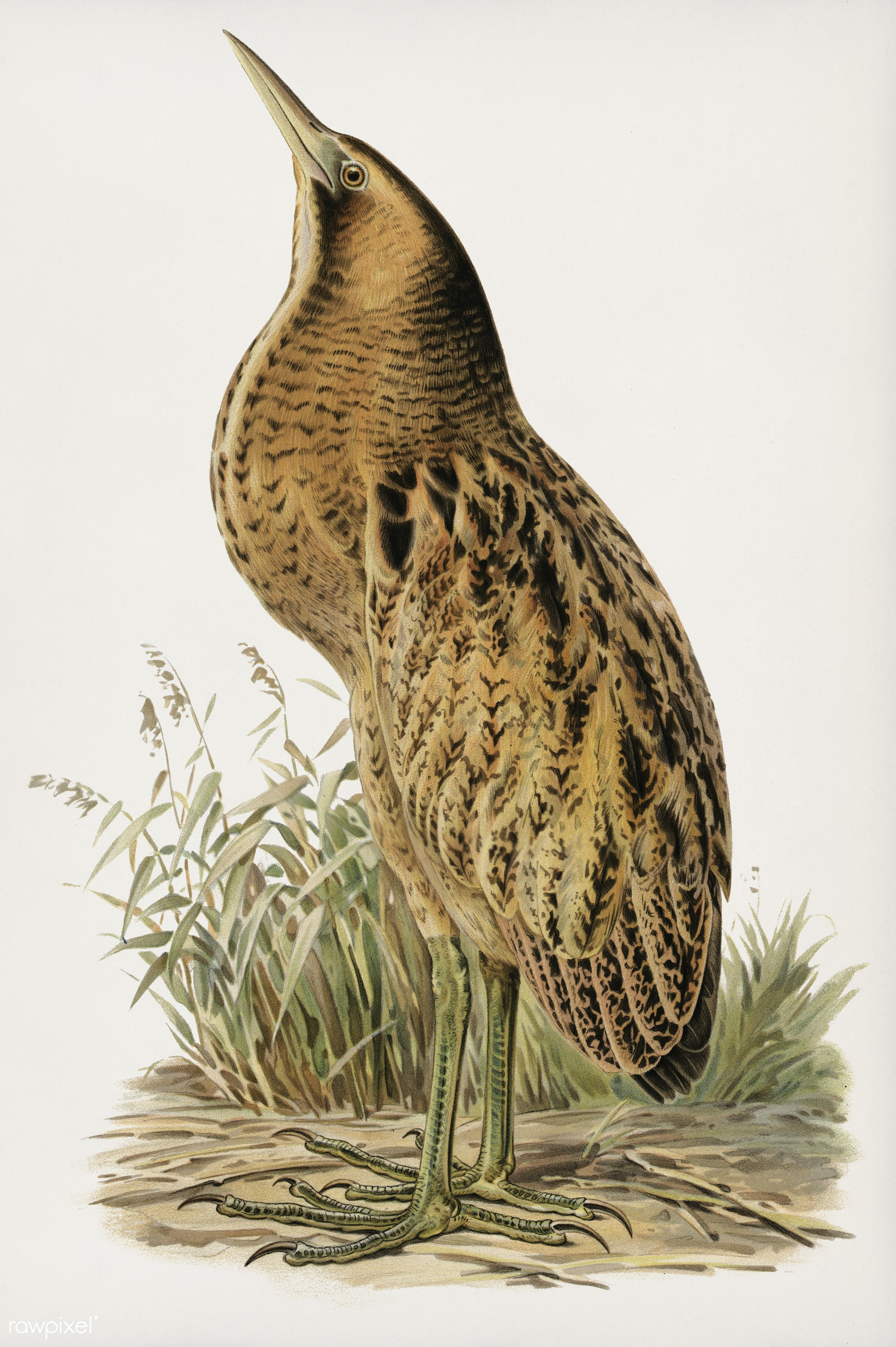 Bittern (Botaurus stellaris) illustrated by the von Wright brothers. Digitally enhanced from our own 1929 folio version of...