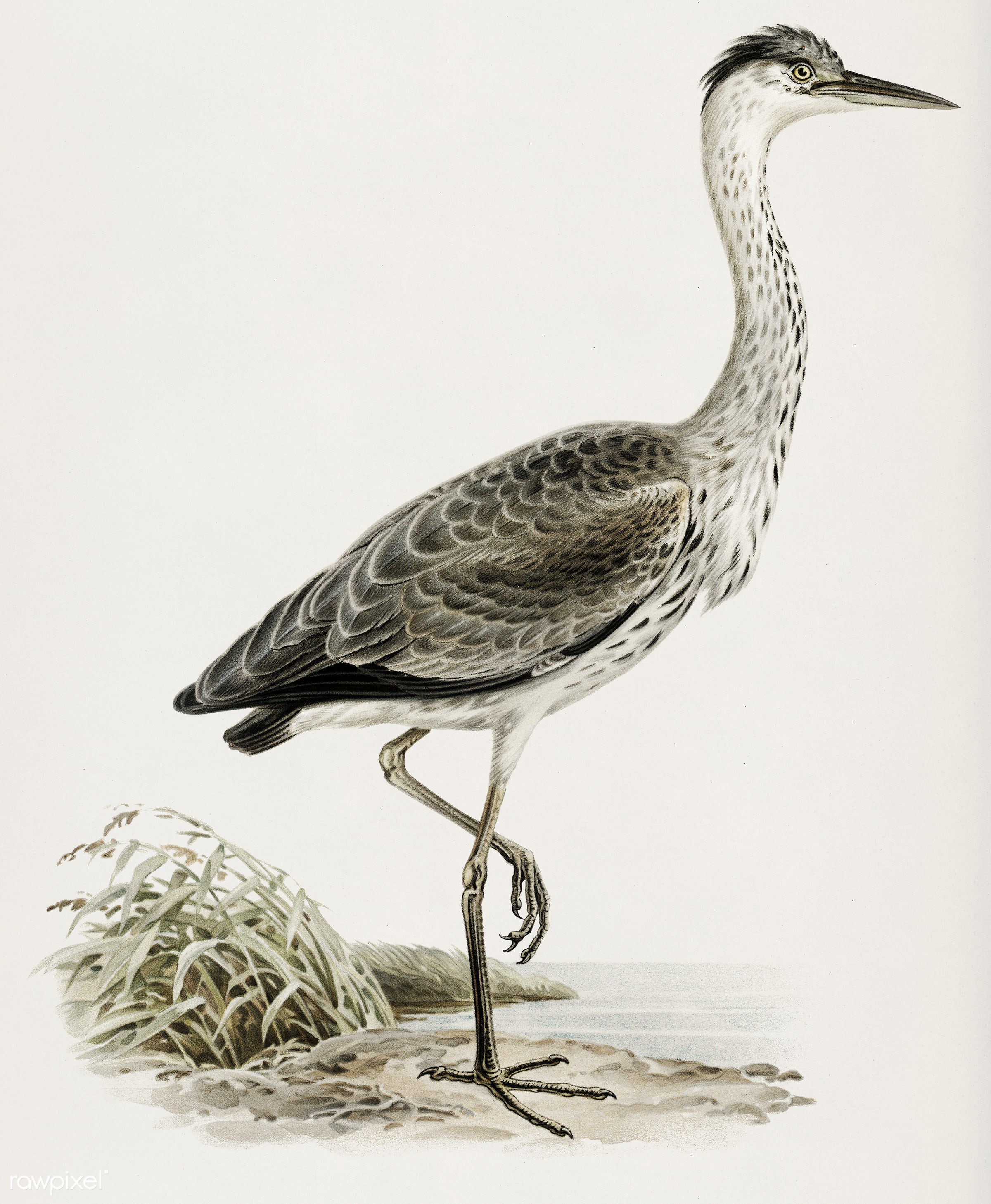Gray heron (Ardea cinerea) illustrated by the von Wright brothers. Digitally enhanced from our own 1929 folio version of...