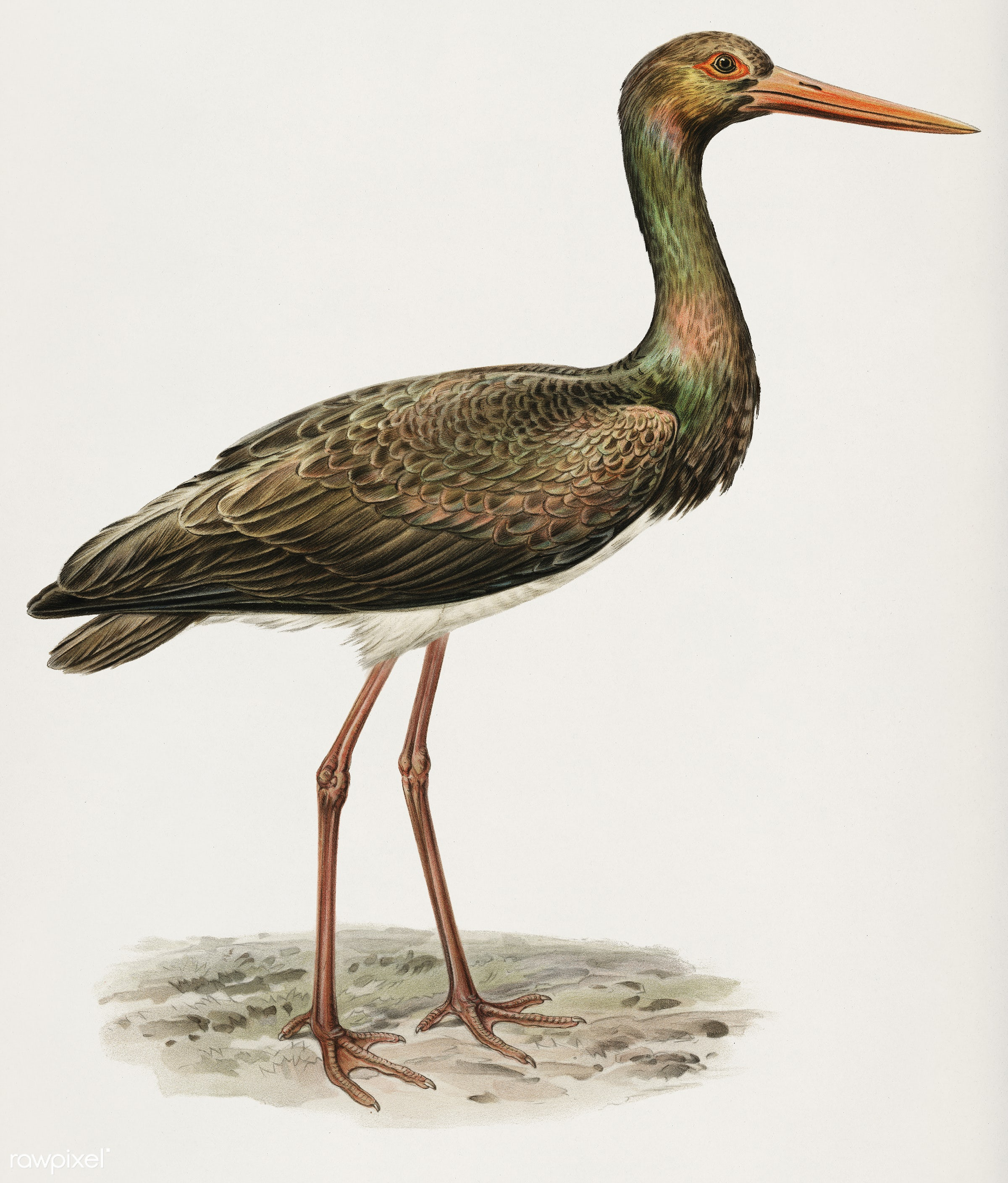 Black Stork (Ciconia nigra) illustrated by the von Wright brothers. Digitally enhanced from our own 1929 folio version of...