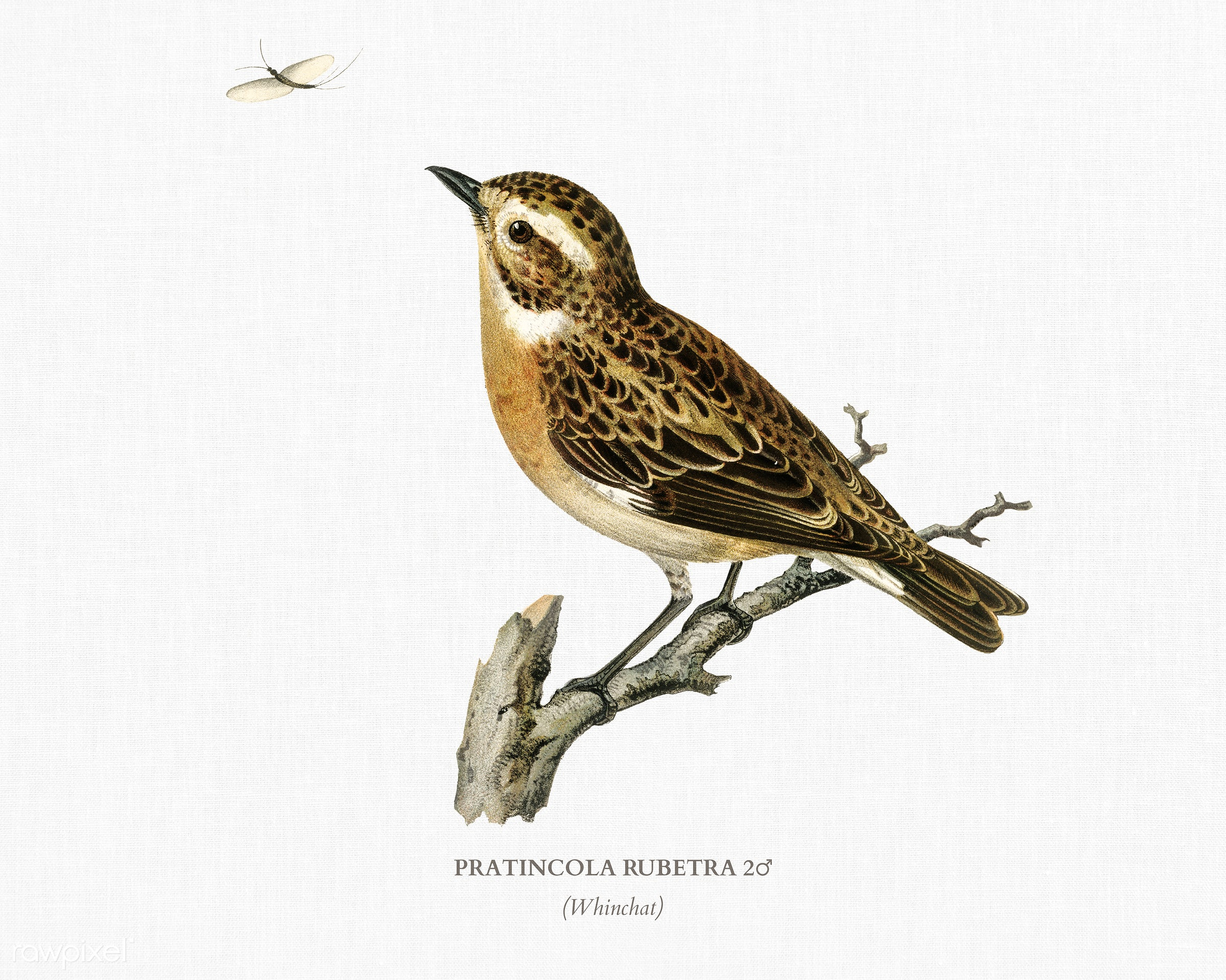 Whinchat 2♂ (Pratincola rubetra) illustrated by the von Wright brothers. Digitally enhanced from our own 1929 folio version...
