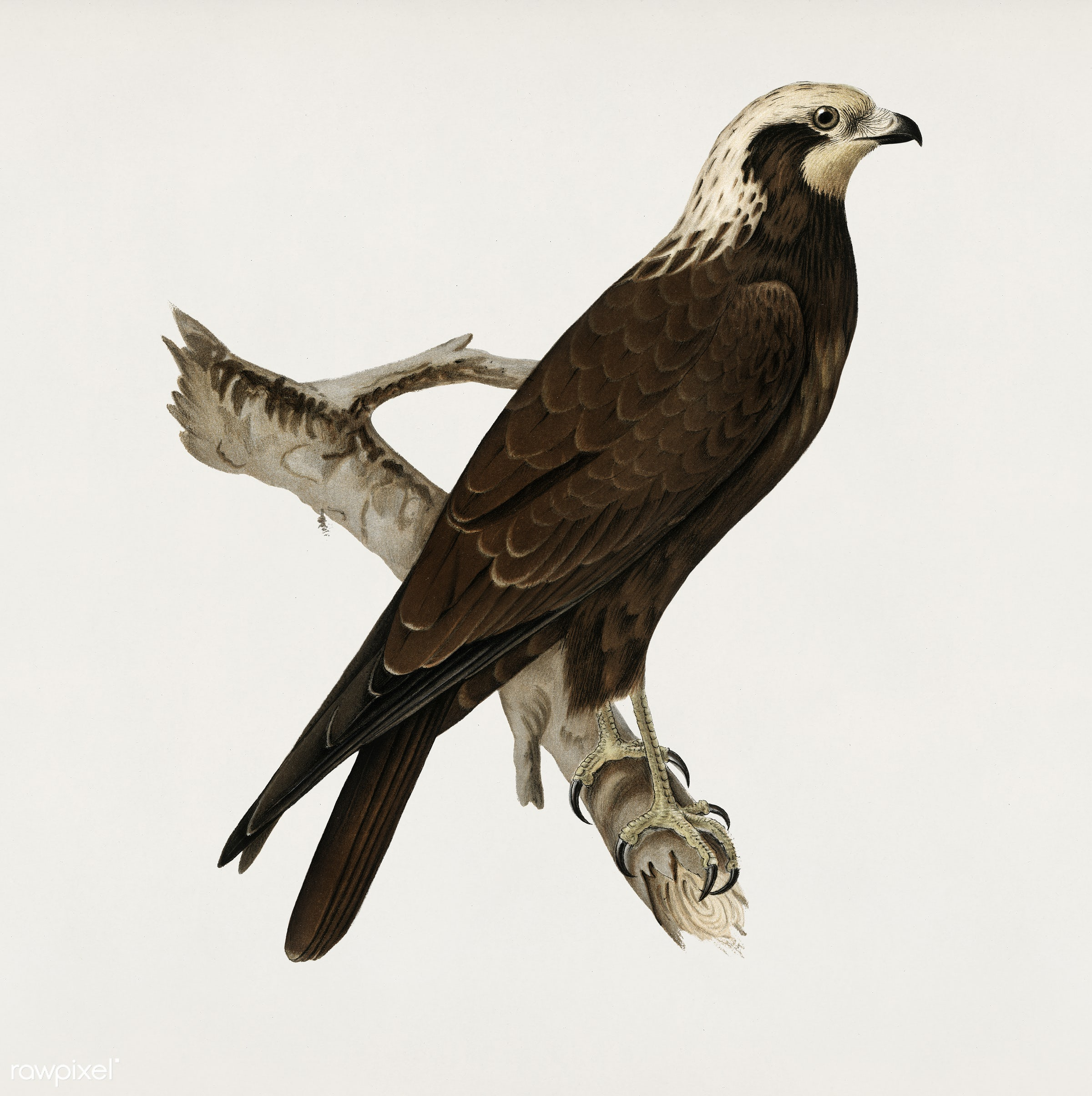Marsh Harrier (Circus aeruginosus) illustrated by the von Wright brothers. Digitally enhanced from our own 1929 folio...