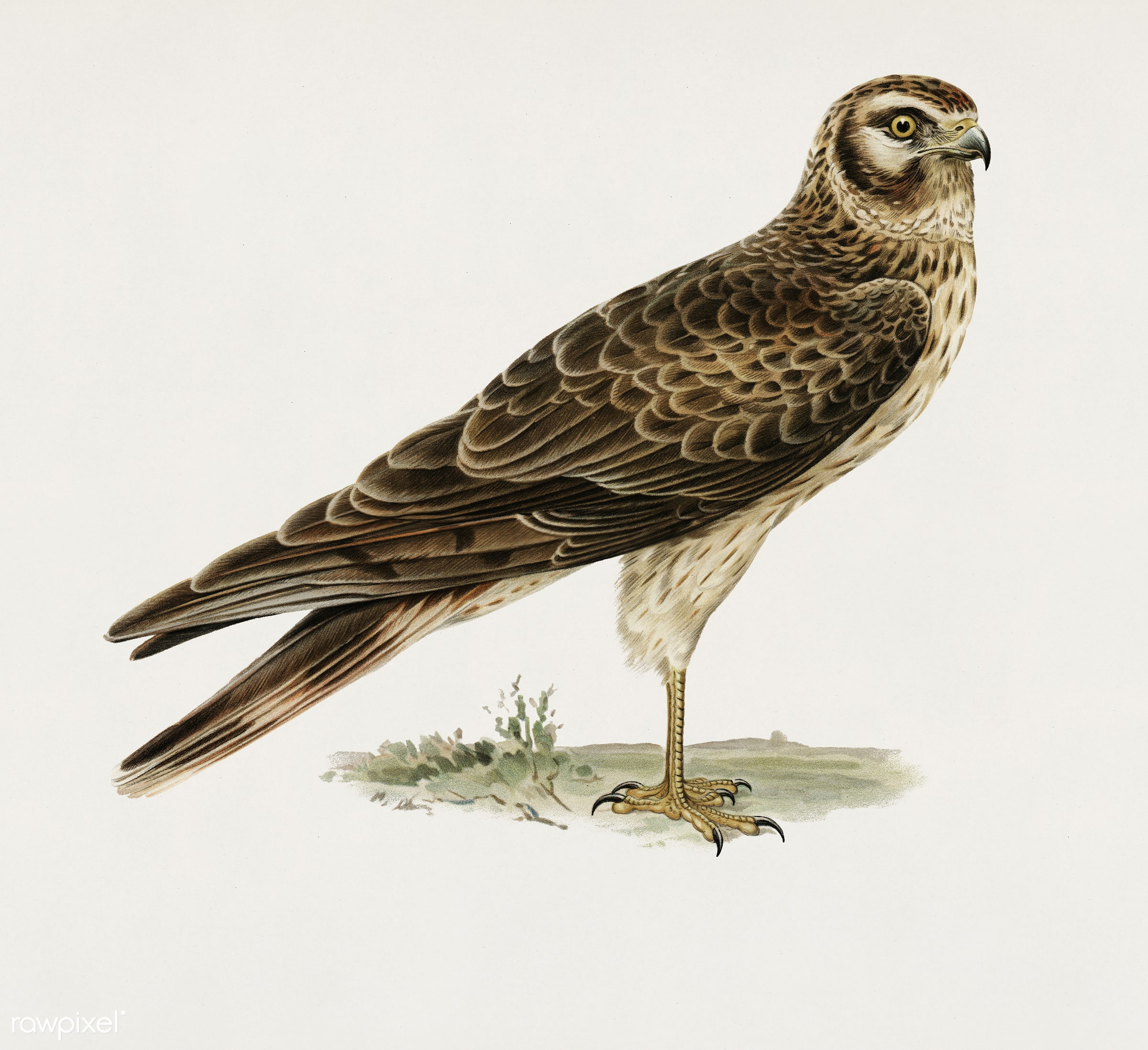 Pale Harrier, Pallid Harrier female (Circus macrourus) illustrated by the von Wright brothers. Digitally enhanced from our...