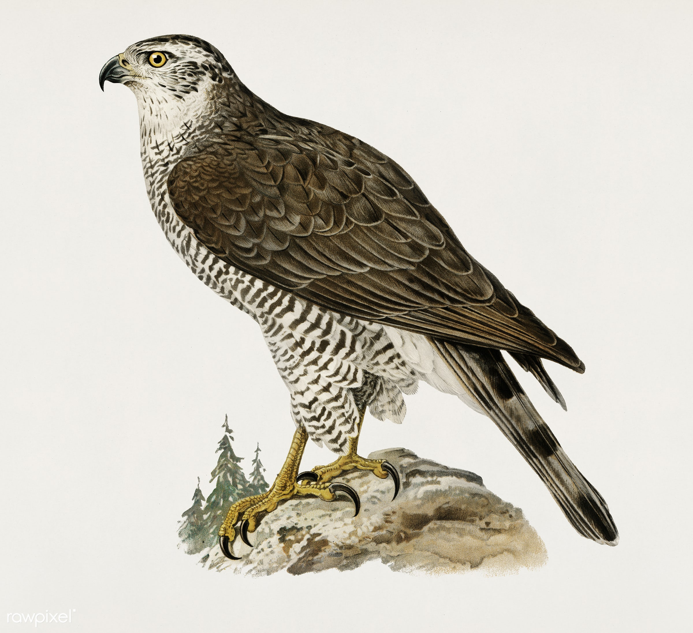 Goshawk female (Accipiter gentilis) illustrated by the von Wright brothers. Digitally enhanced from our own 1929 folio...