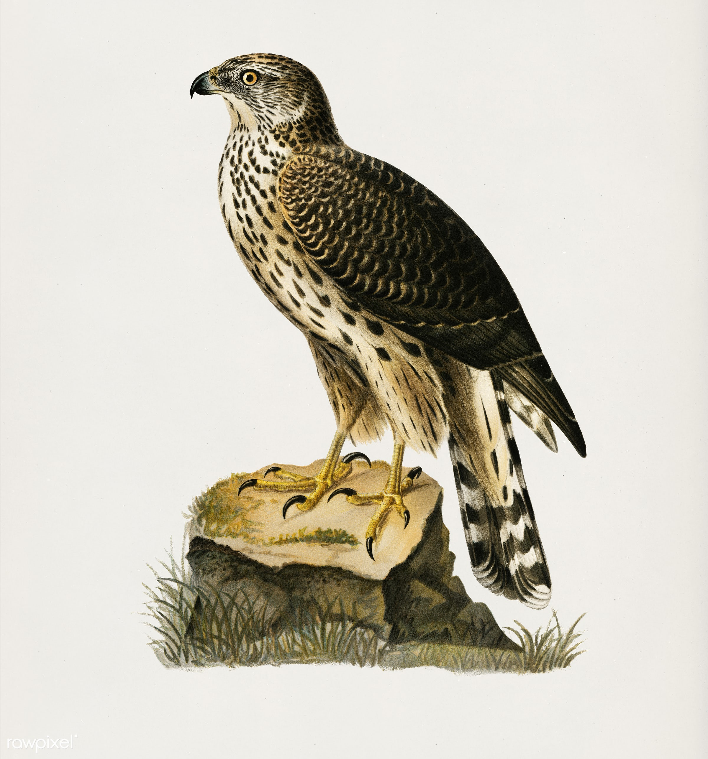 Goshawk (Accipiter gentilis) illustrated by the von Wright brothers. Digitally enhanced from our own 1929 folio version of...