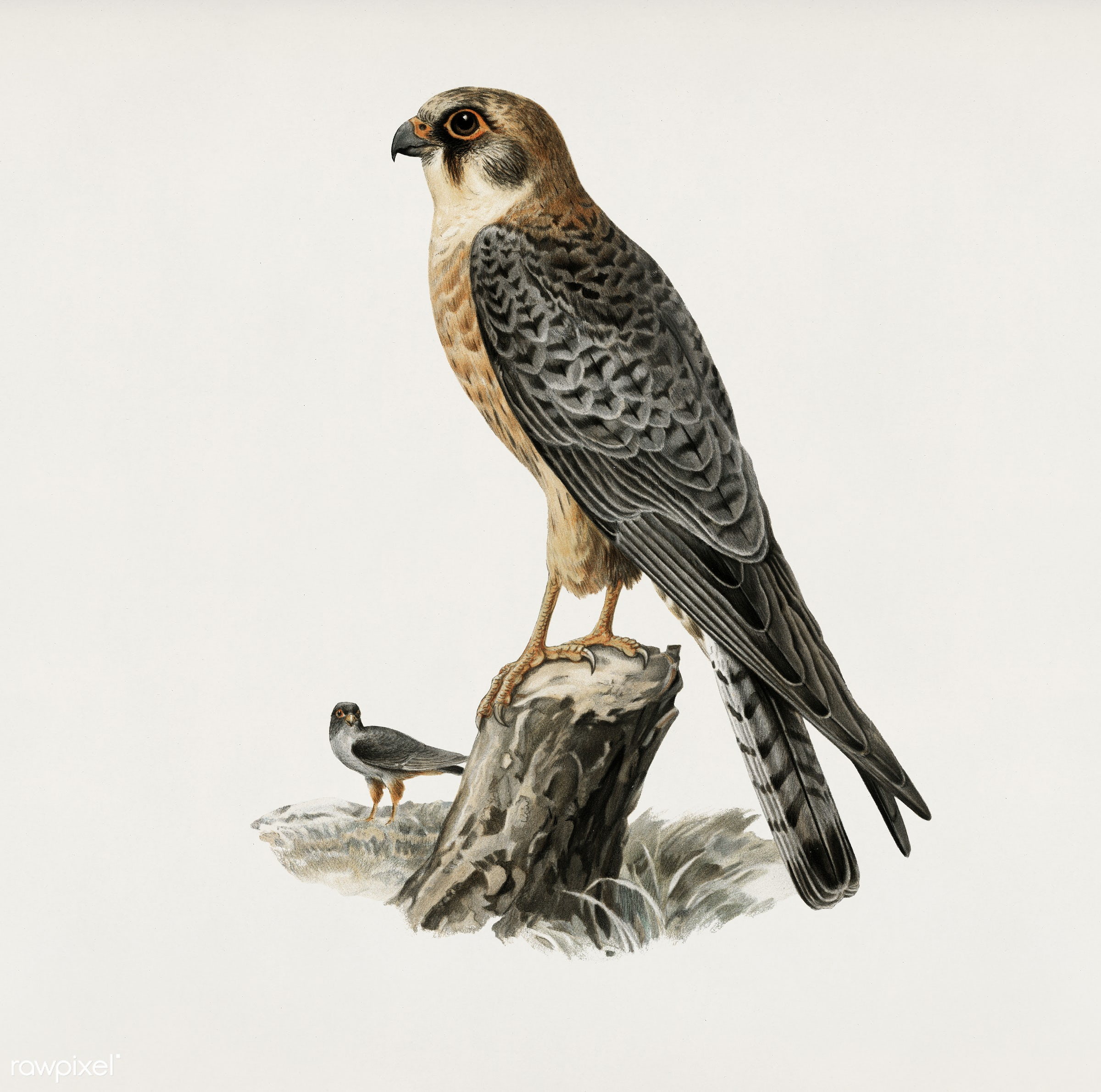 Red-footed Falcon female (Falco vespertinus) illustrated by the von Wright brothers. Digitally enhanced from our own 1929...