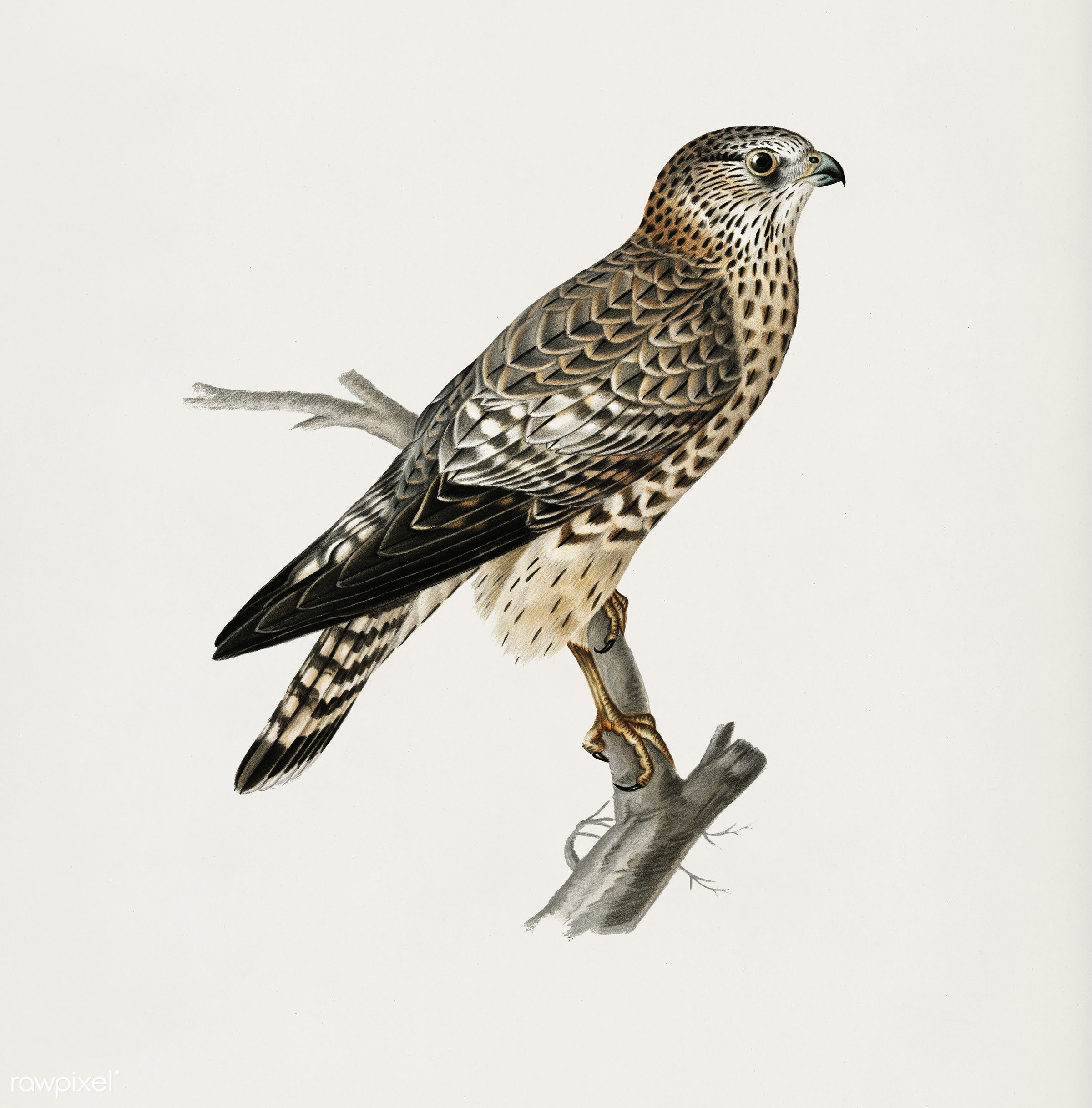 Merlin female (Falco aesalon) illustrated by the von Wright brothers. Digitally enhanced from our own 1929 folio version of...