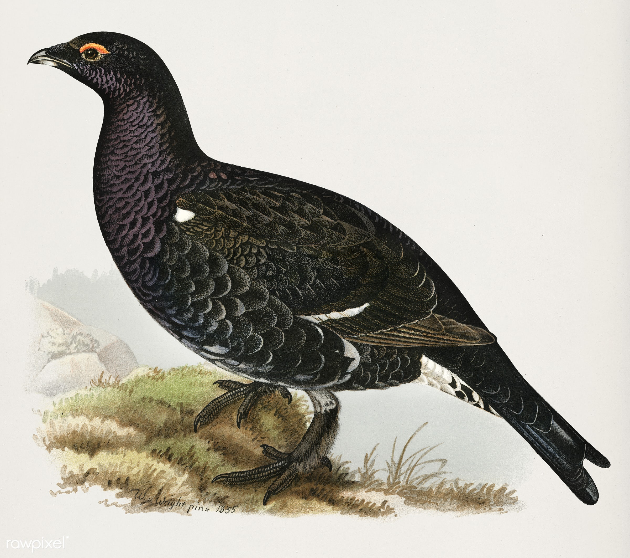 Hybrid between black grouse and western capercaillie (Lyrurus tetrix ♂ x Tetrao urogallus ♀) illustrated by the von Wright...