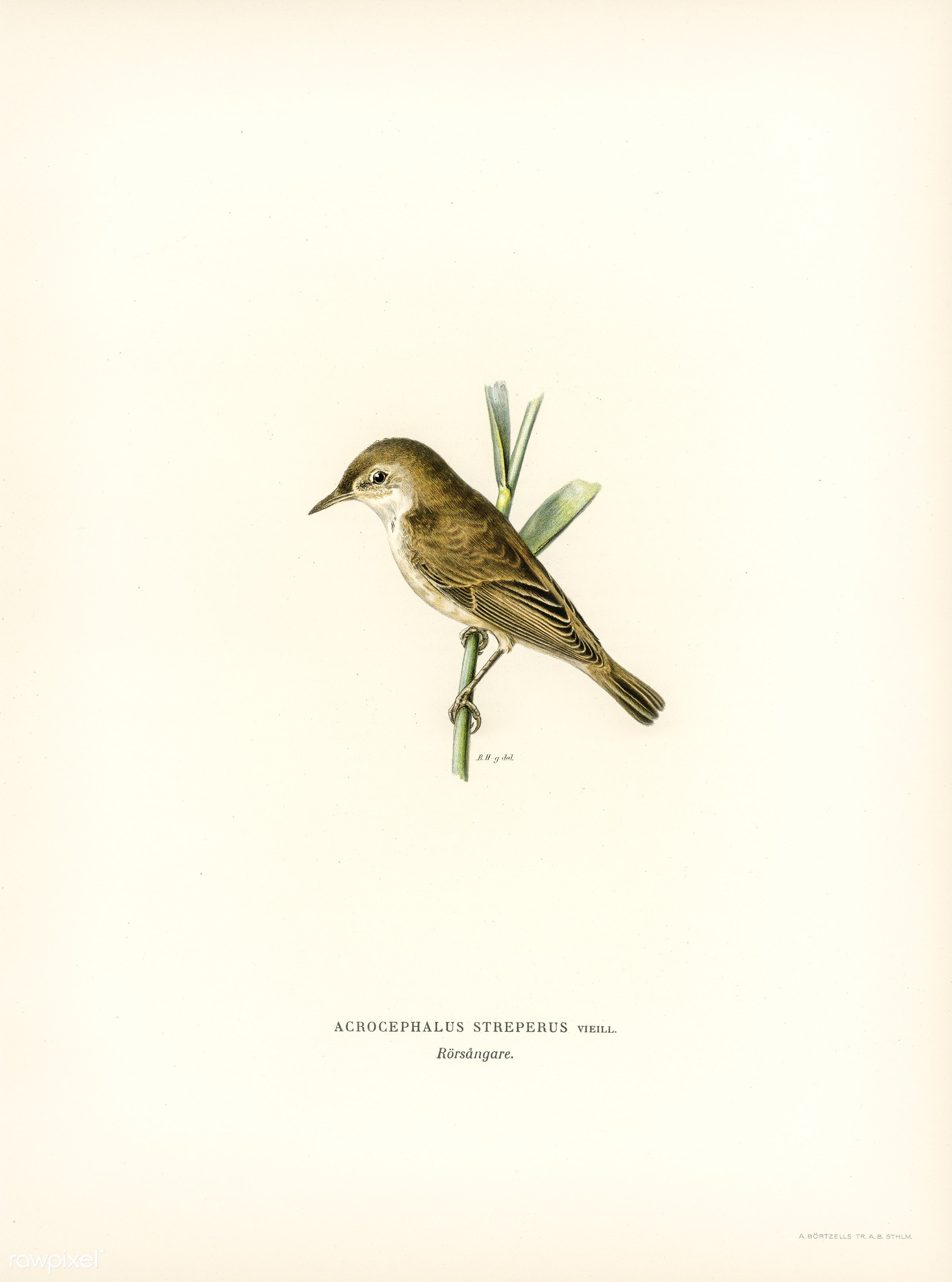 Red warbler (Acrocephalus streperus) illustrated by the von Wright brothers. Digitally enhanced from our own 1929 folio...