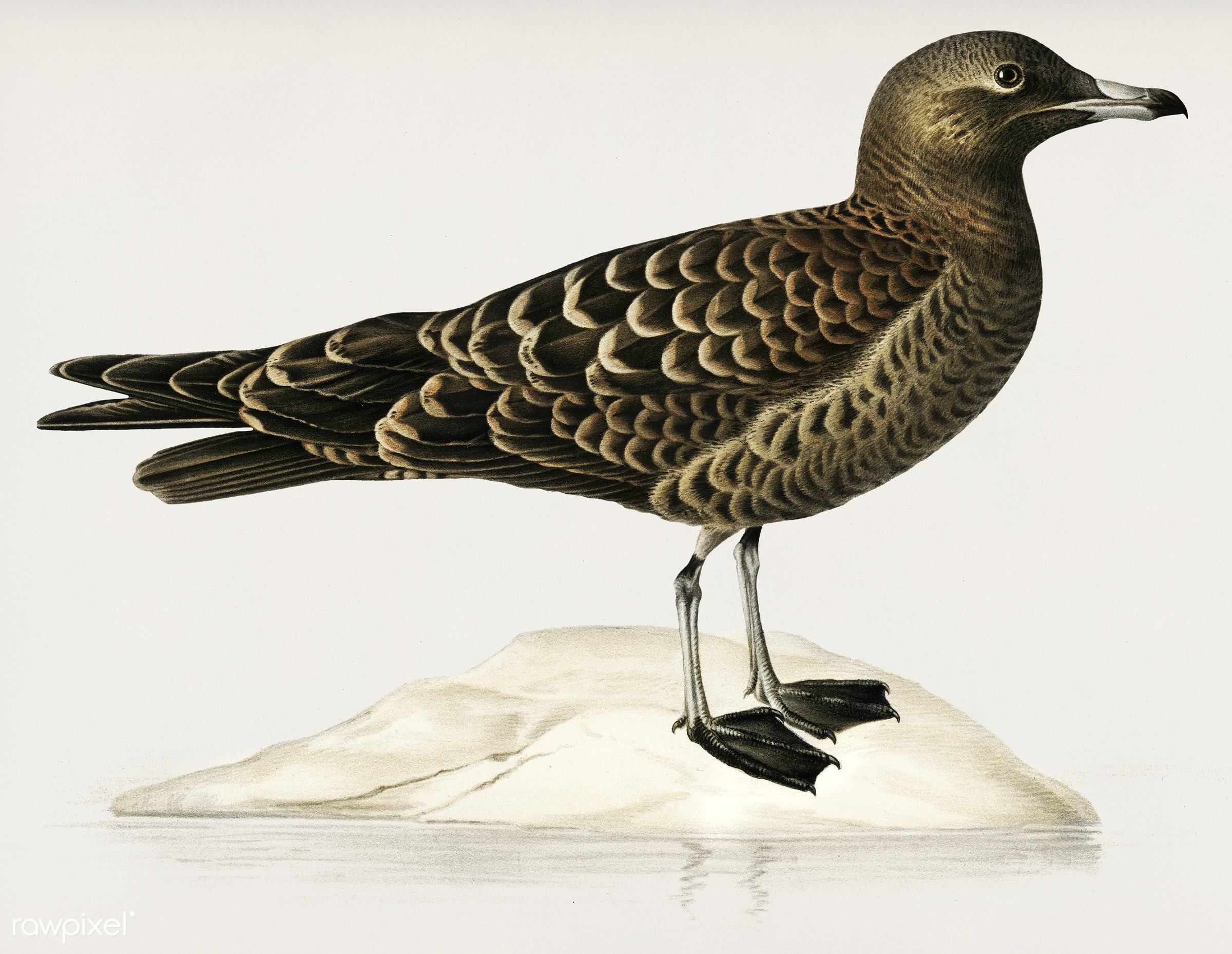 Parasitic jaeger (Stercorarius parasiticus) illustrated by the von Wright brothers. Digitally enhanced from our own 1929...