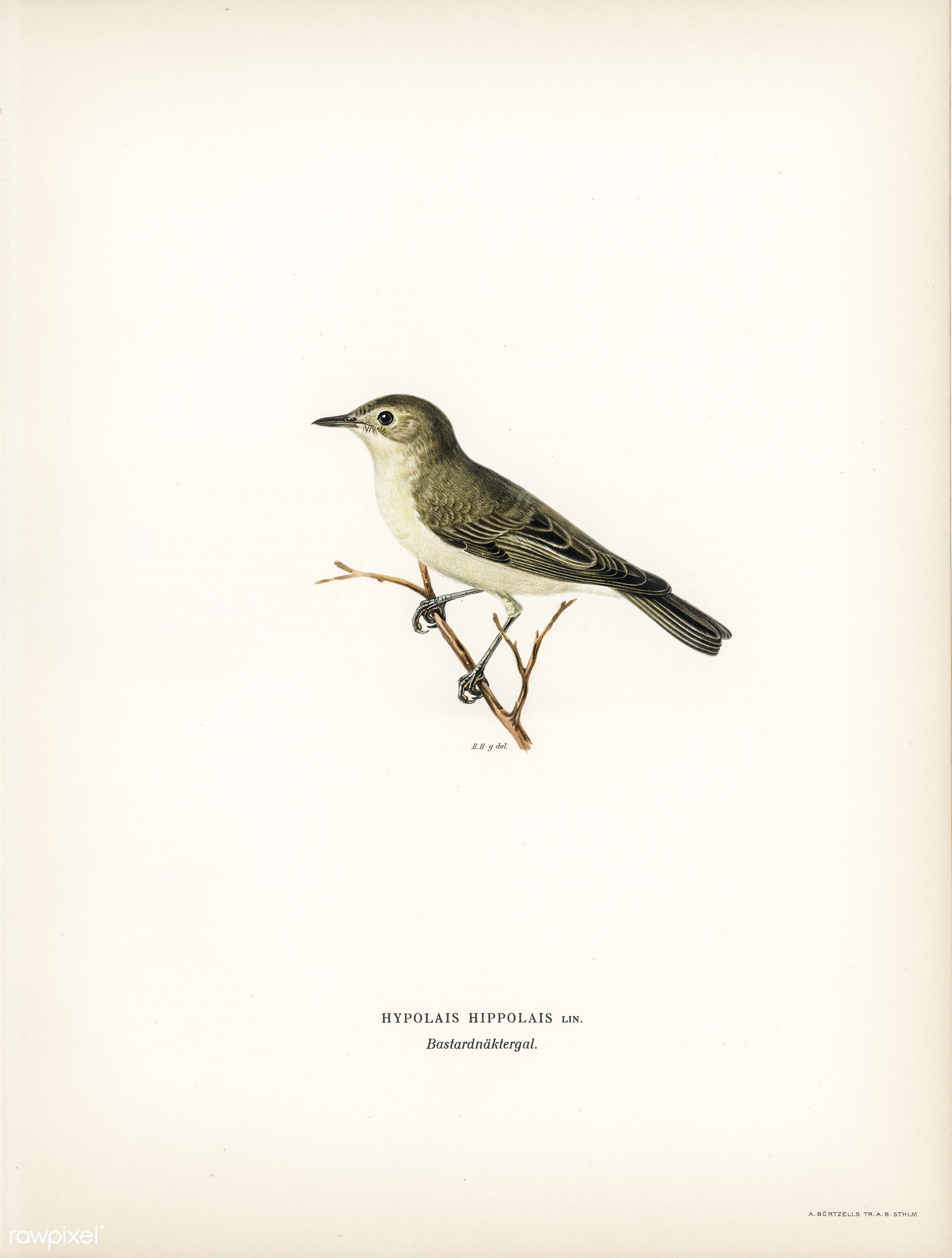 Tree warbler (Hypolais hipolais) illustrated by the von Wright brothers. Digitally enhanced from our own 1929 folio version...