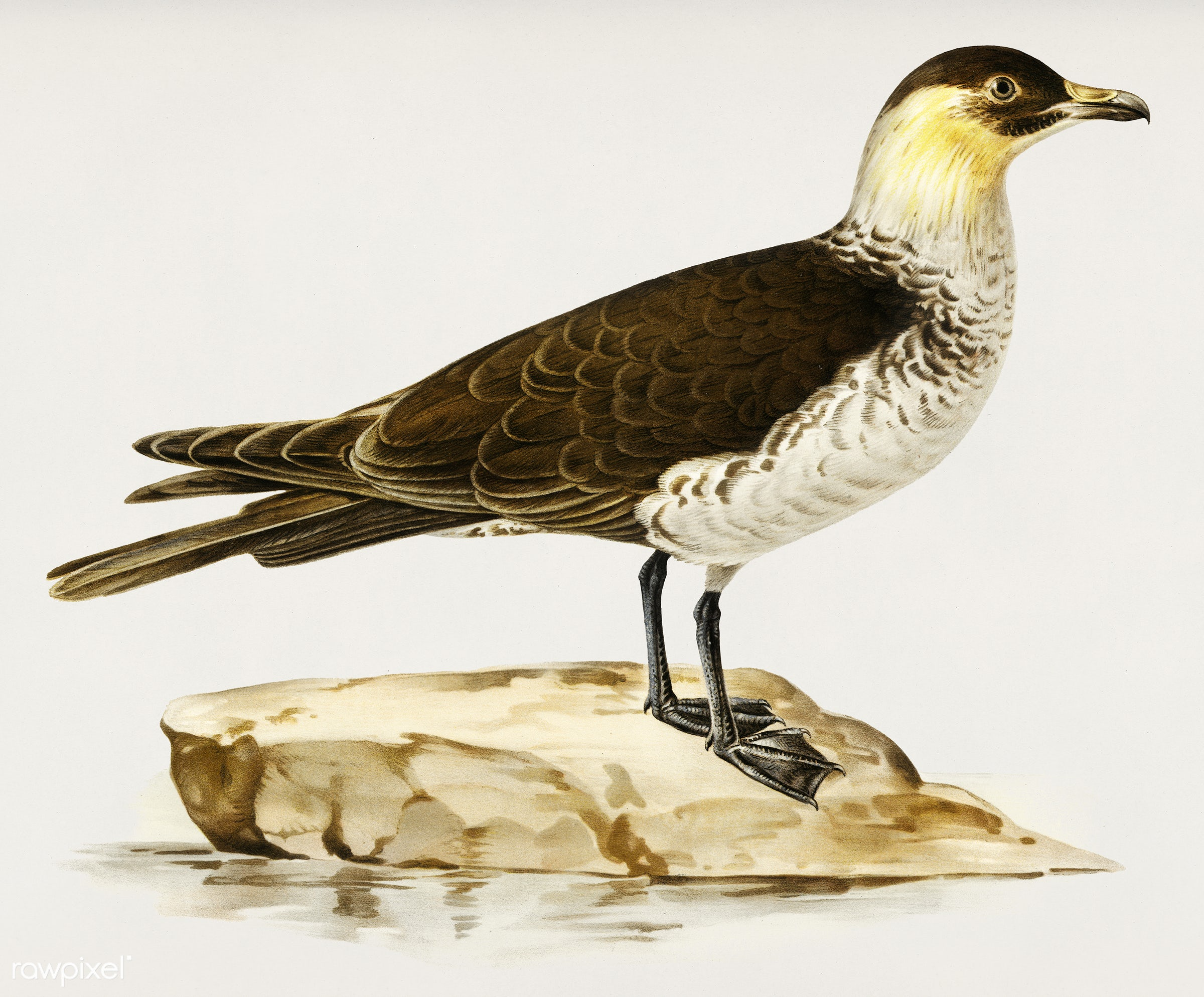 Pomarine jaeger (Stercorarius pomarinus) illustrated by the von Wright brothers. Digitally enhanced from our own 1929 folio...