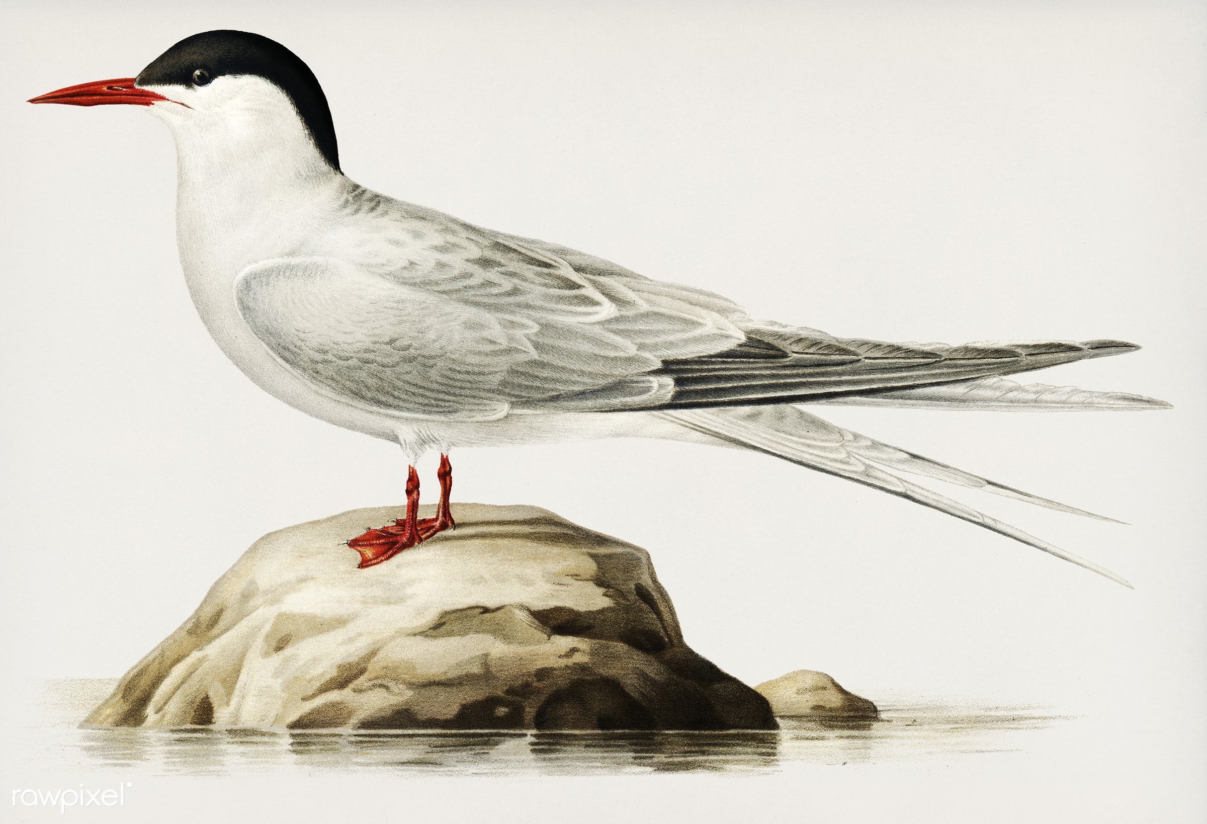 Arctic tern (Sterna paradisaea) illustrated by the von Wright brothers. Digitally enhanced from our own 1929 folio version...