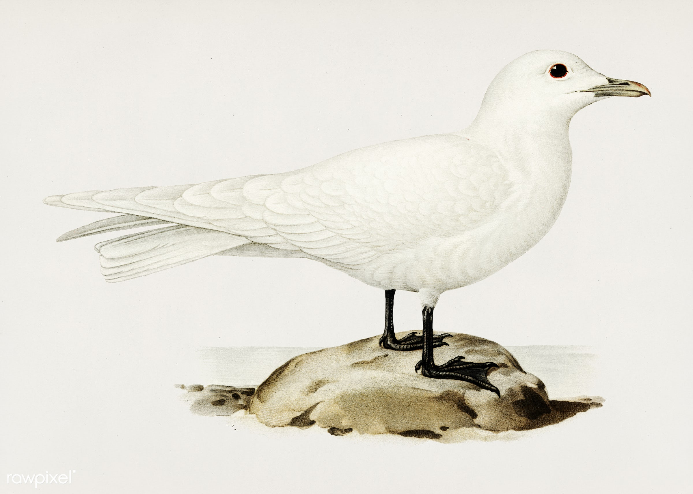 Ivory gull (Pagophila eburnea) illustrated by the von Wright brothers. Digitally enhanced from our own 1929 folio version of...