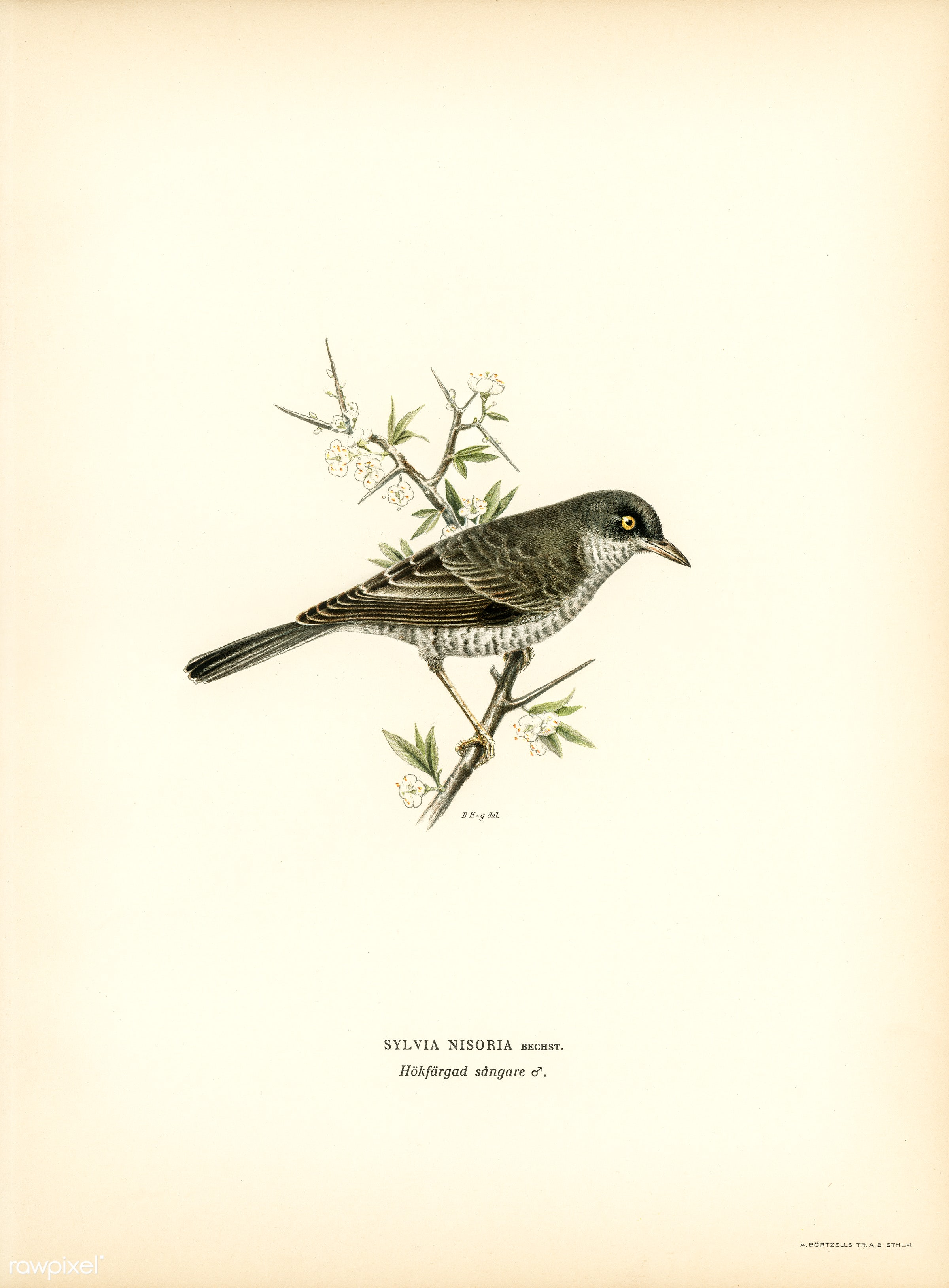 Barred warbler ♂ (Sylvia nisoria) illustrated by the von Wright brothers. Digitally enhanced from our own 1929 folio version...