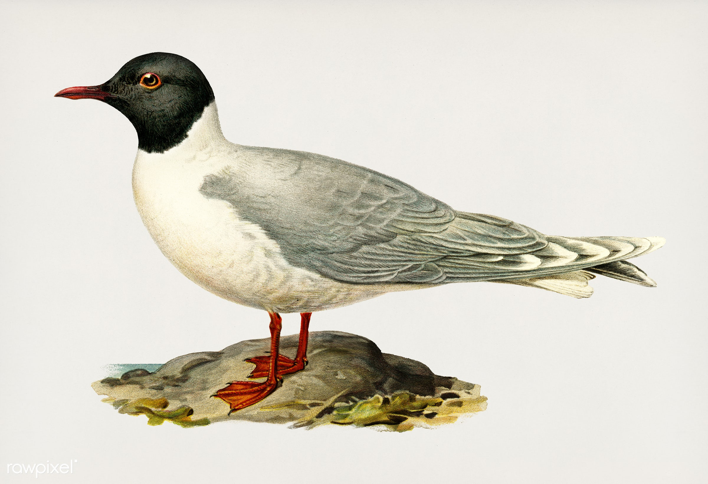 Little gull (Larus minutus) illustrated by the von Wright brothers. Digitally enhanced from our own 1929 folio version of...