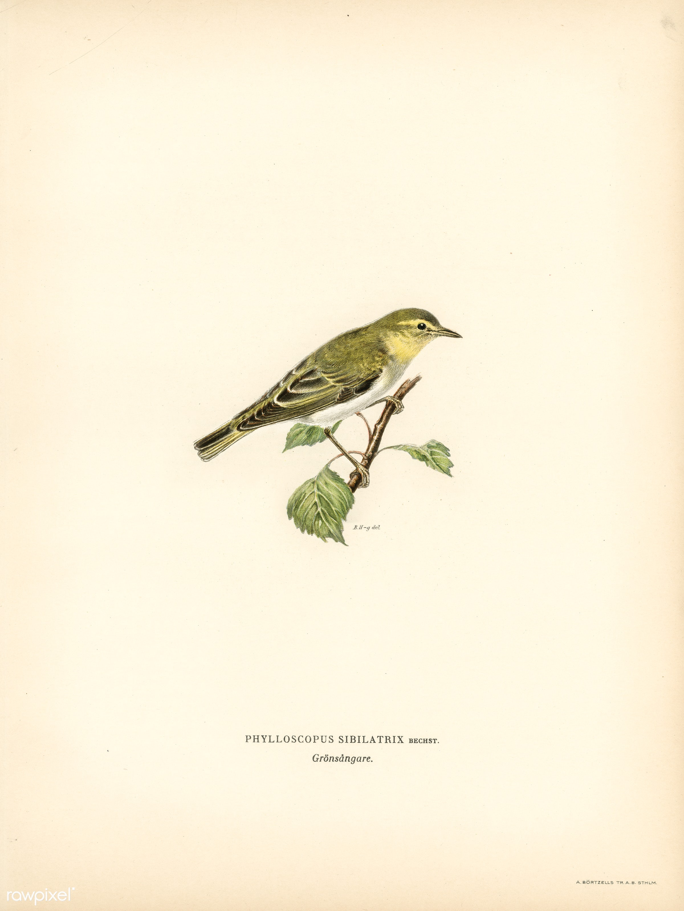 Wood Warbler (Phylloscopus sibilatrix) illustrated by the von Wright brothers. Digitally enhanced from our own 1929 folio...