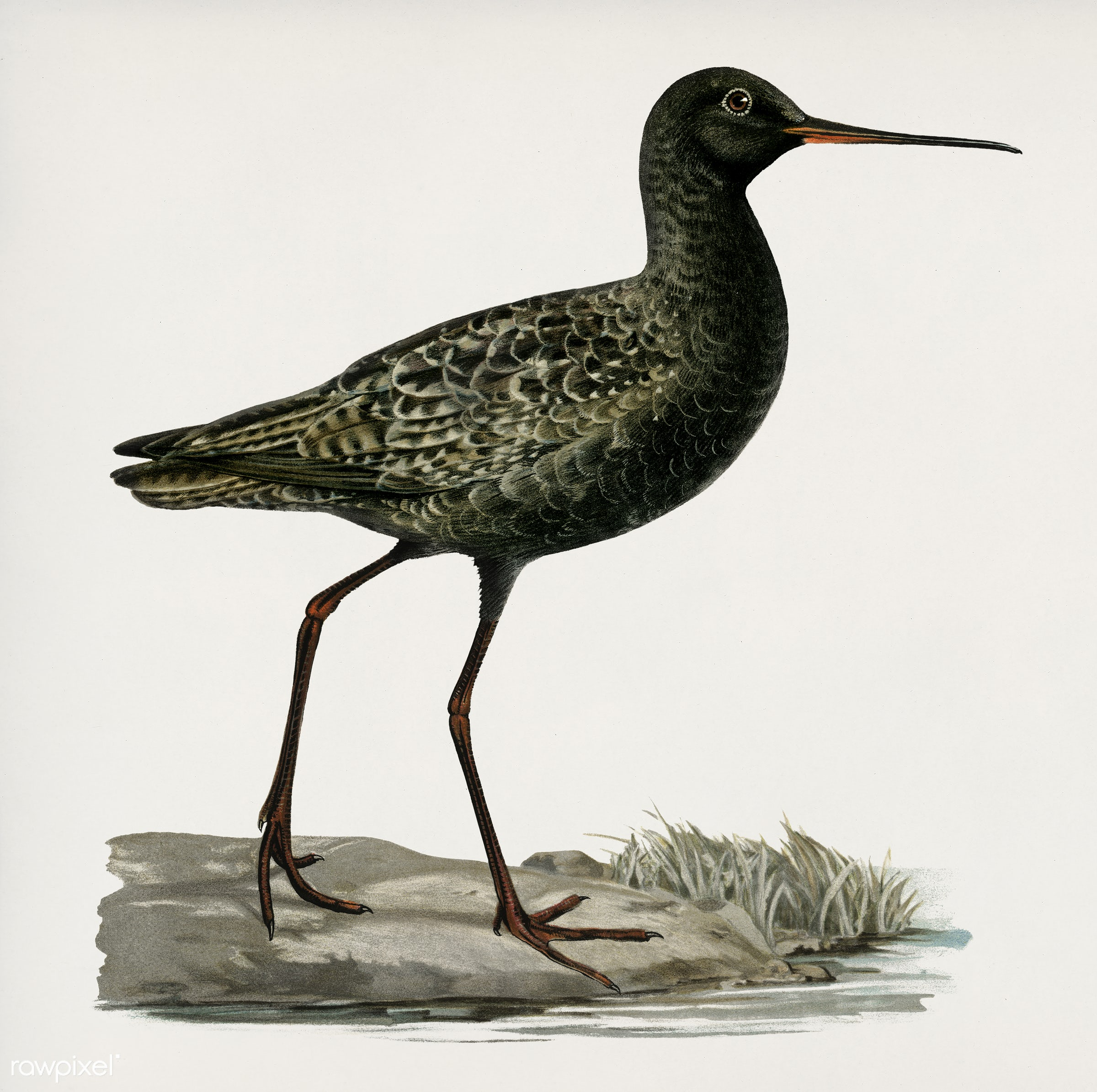 Spotted redshank (Totanus erythropus) illustrated by the von Wright brothers. Digitally enhanced from our own 1929 folio...