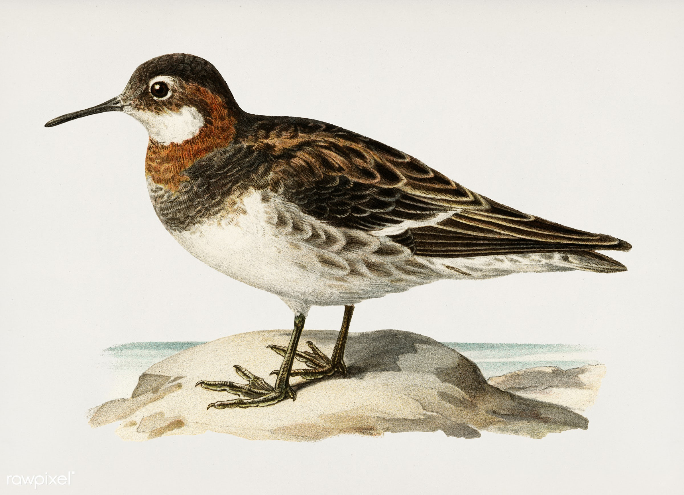 Red-necked Phalarope (lobipes lobatus) illustrated by the von Wright brothers. Digitally enhanced from our own 1929 folio...
