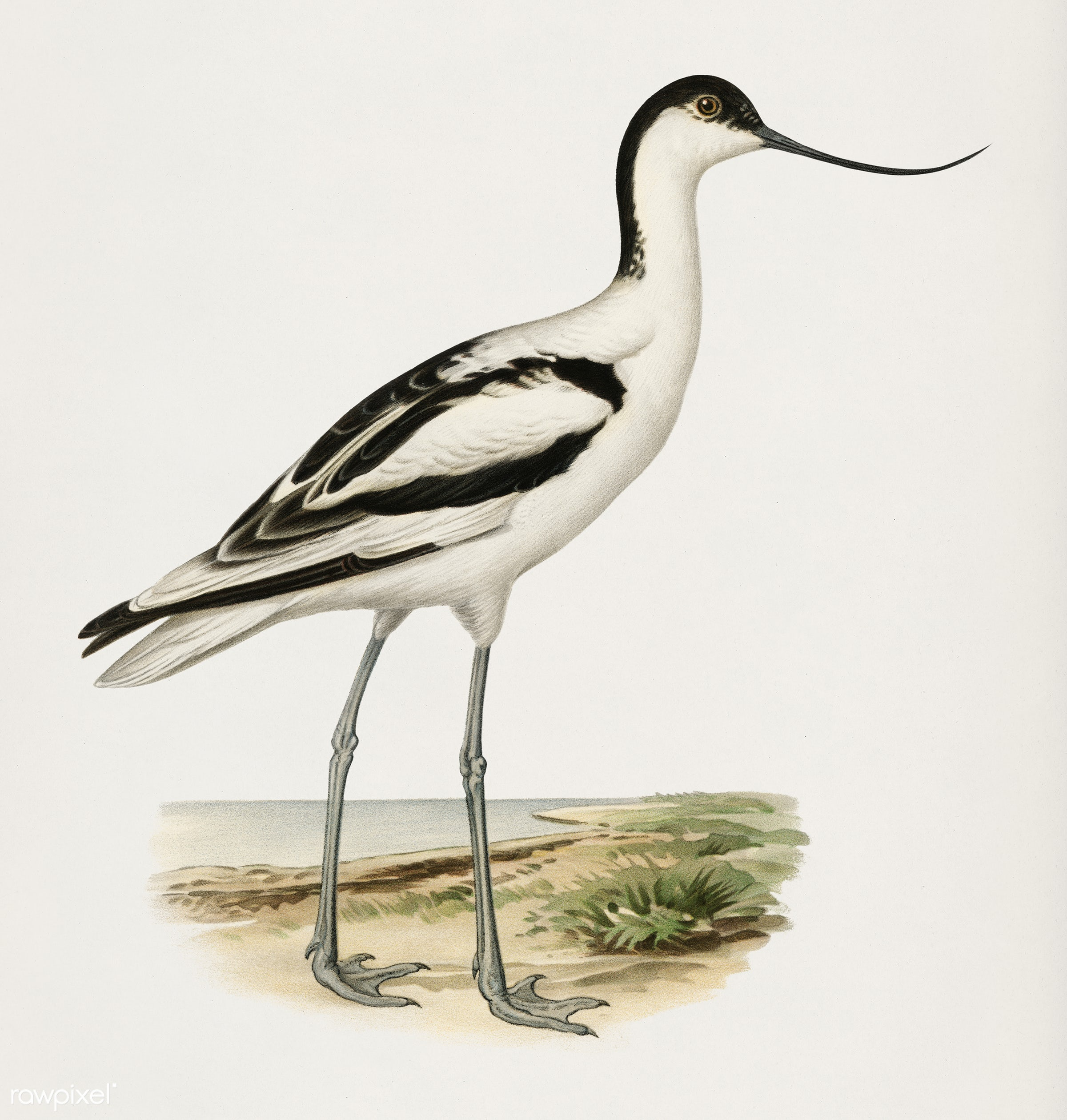 Pied avocet (Recurvirostra avosetta) illustrated by the von Wright brothers. Digitally enhanced from our own 1929 folio...