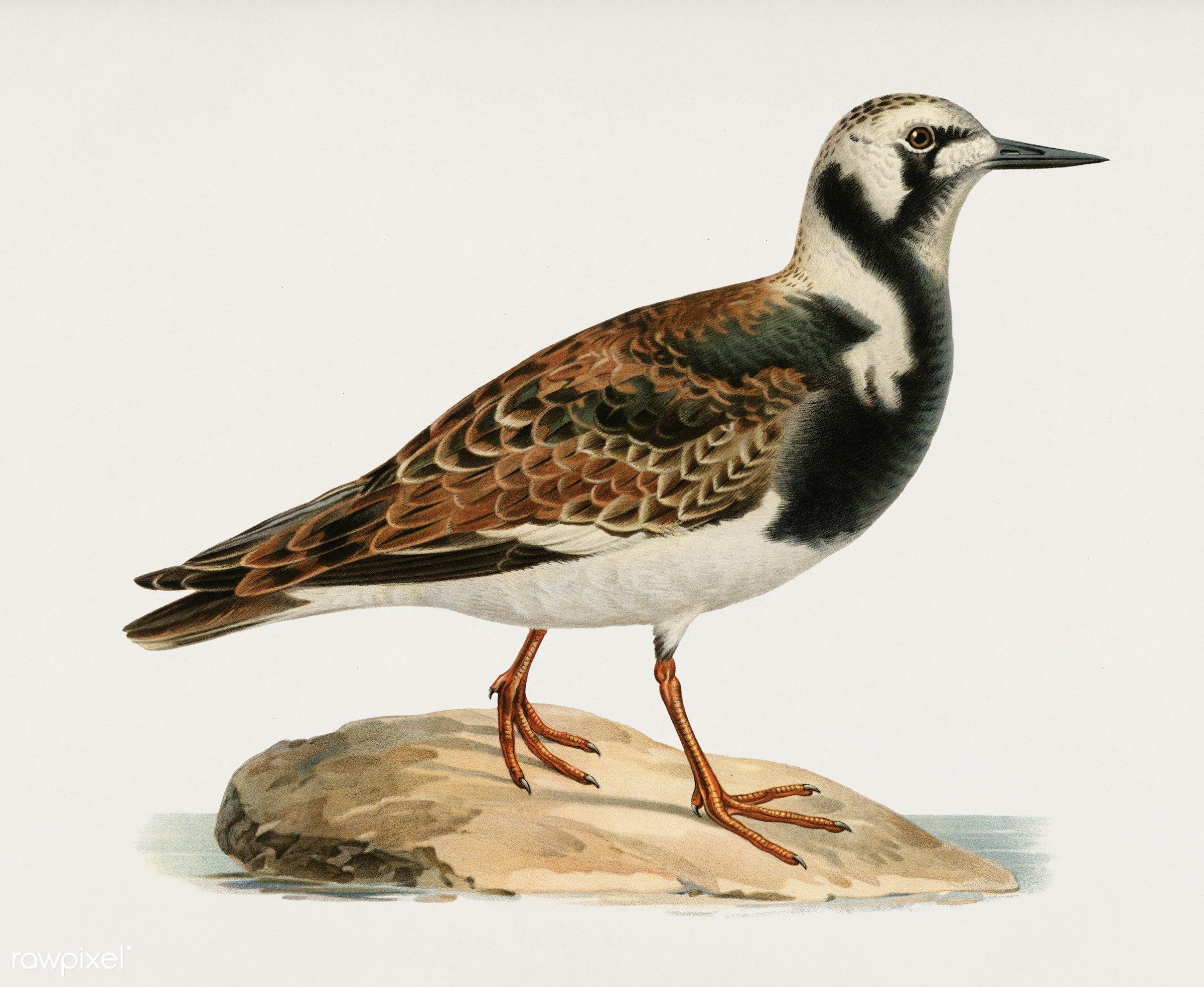 Ruddy turnstone ♂ (Arenaria interpres) illustrated by the von Wright brothers. Digitally enhanced from our own 1929 folio...