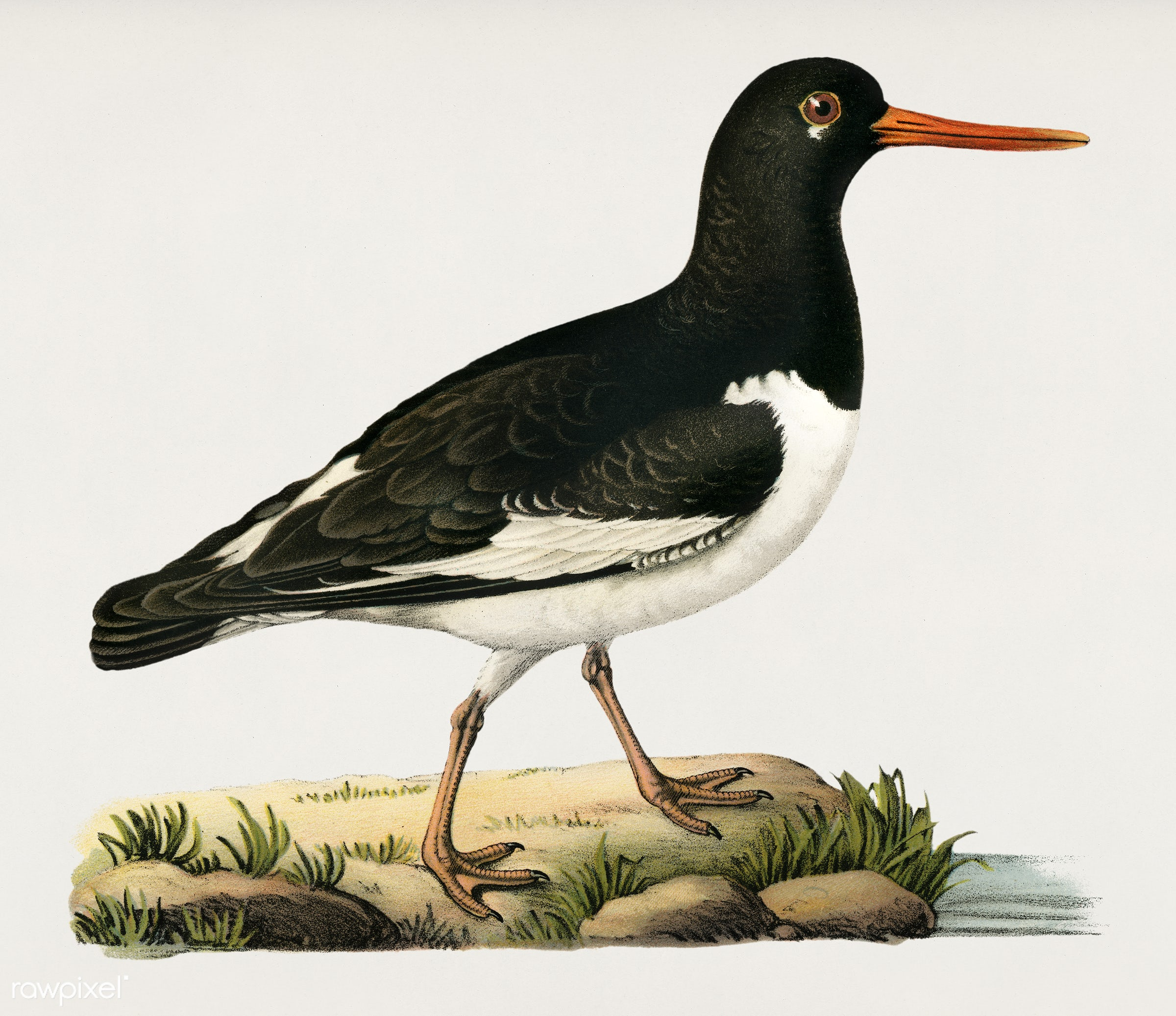 Eurasian oystercatcher ♀ (Haematopus ostralegus) illustrated by the von Wright brothers. Digitally enhanced from our own...