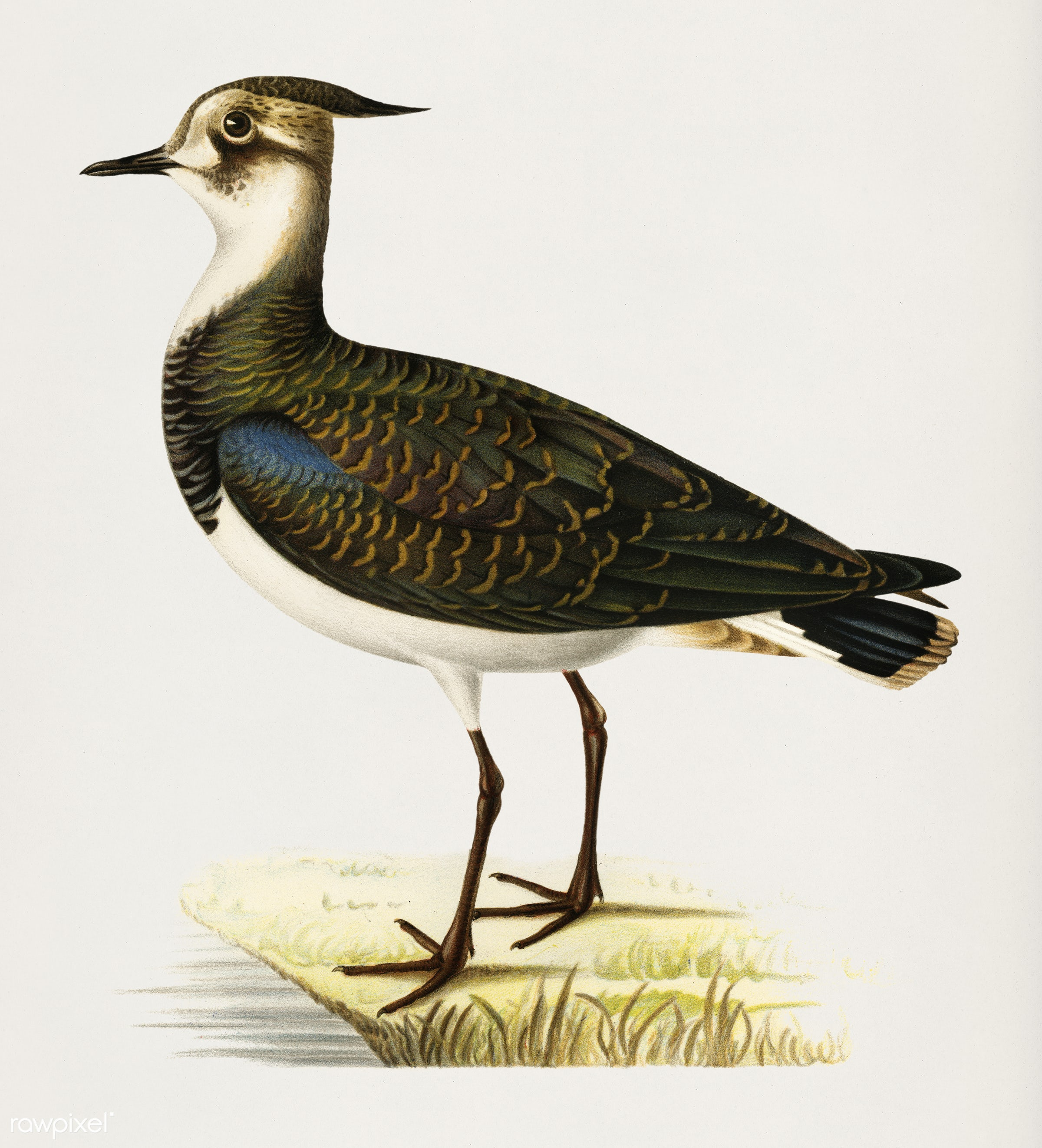 Nortnern lapwing (Vanellus vanellus) illustrated by the von Wright brothers. Digitally enhanced from our own 1929 folio...