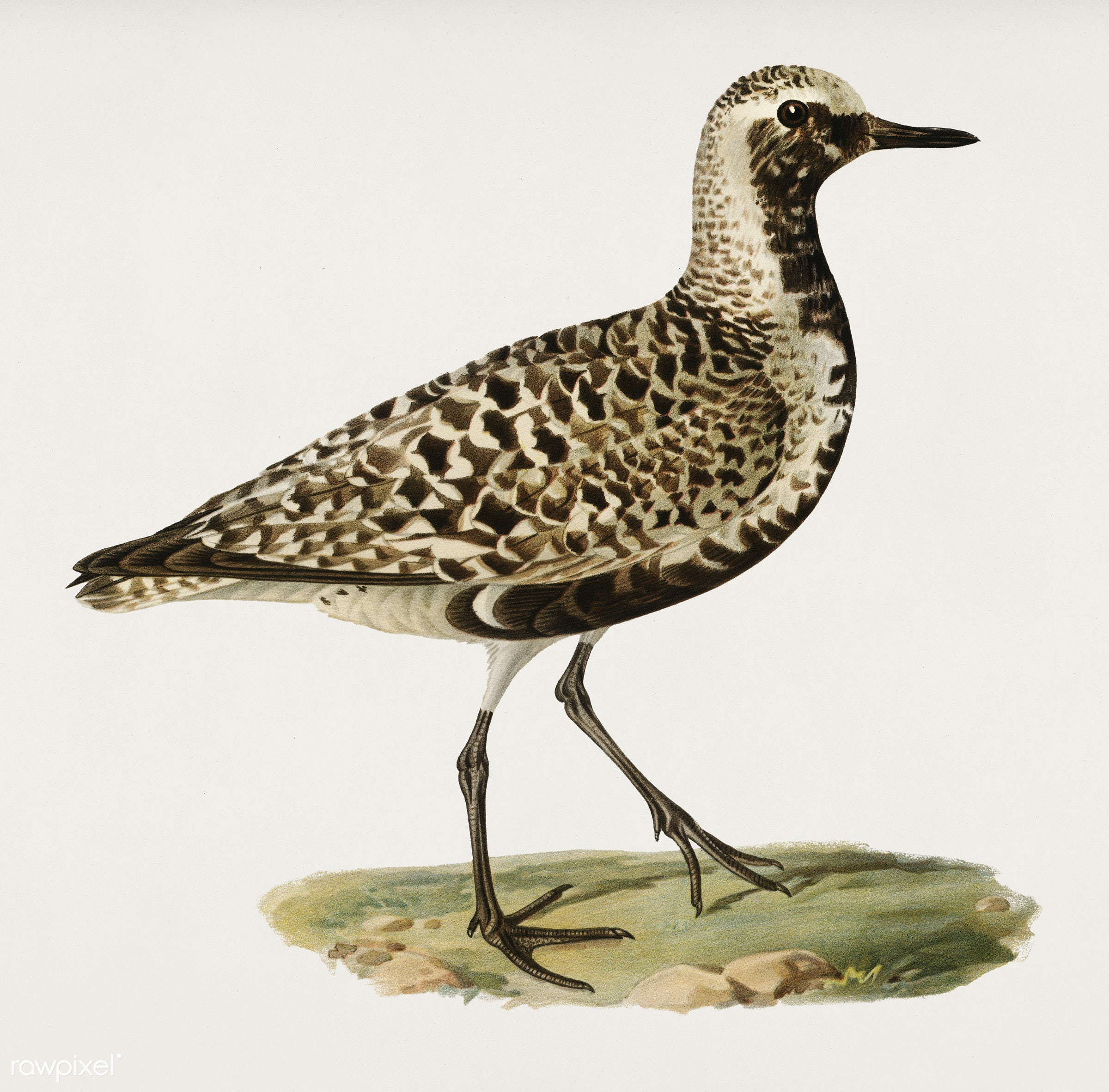 Grey plover (Squatarola squatarola) illustrated by the von Wright brothers. Digitally enhanced from our own 1929 folio...