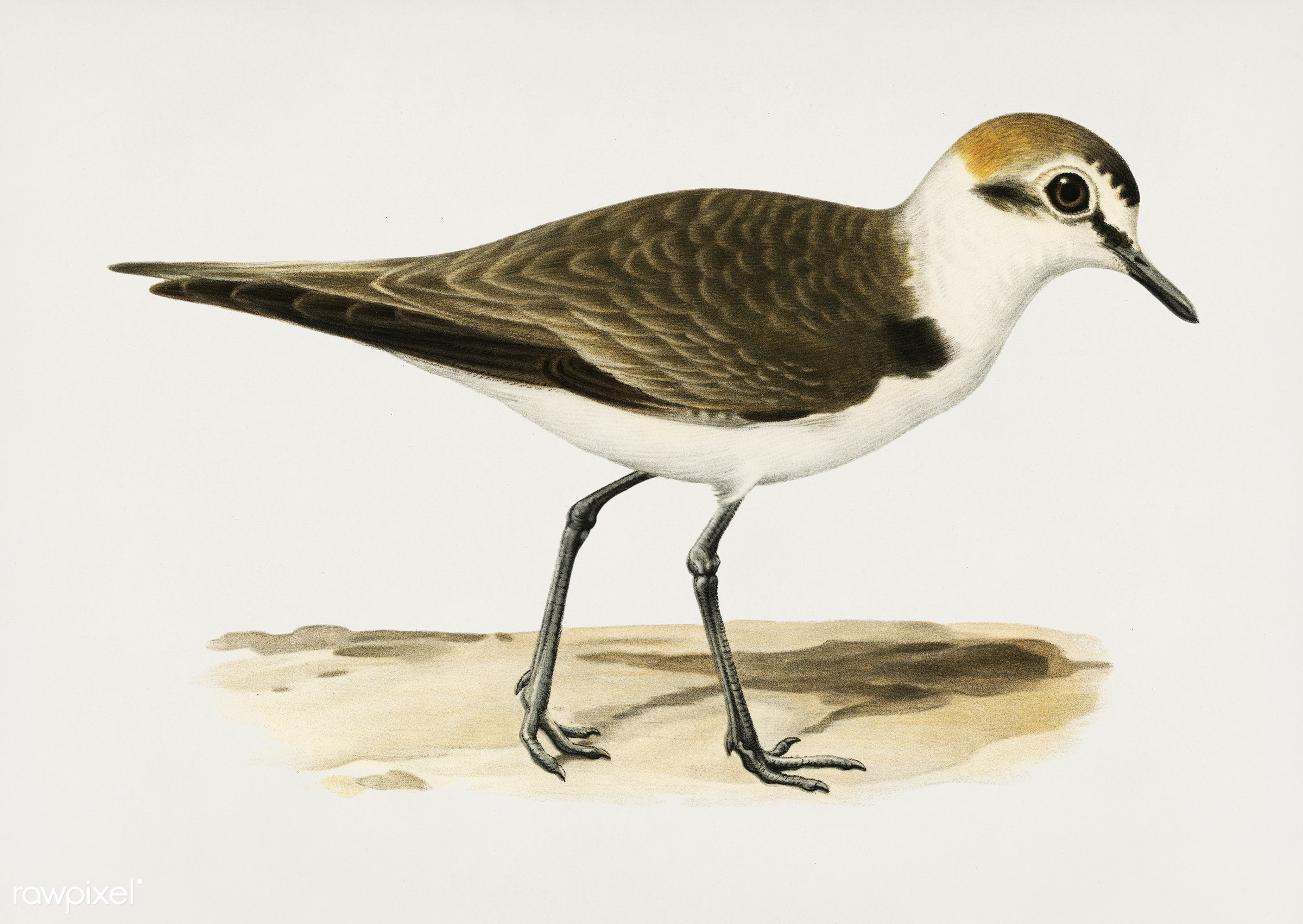 Kentish Plover ♂ (Charadrius (Leucopolius) alexandrinus) illustrated by the von Wright brothers. Digitally enhanced from our...