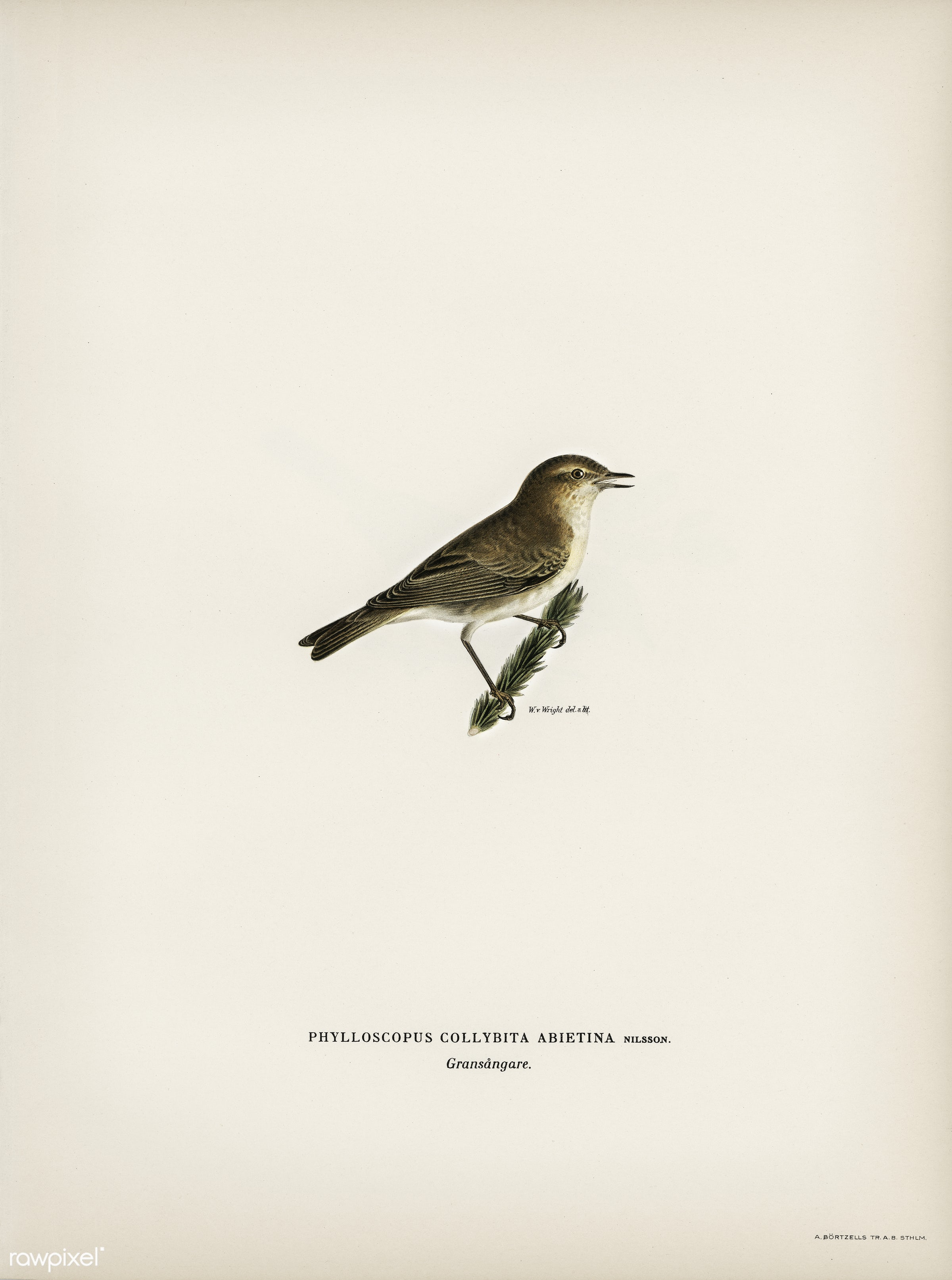Common chiffchaff (Phylloscopus collybita) illustrated by the von Wright brothers. Digitally enhanced from our own 1929...