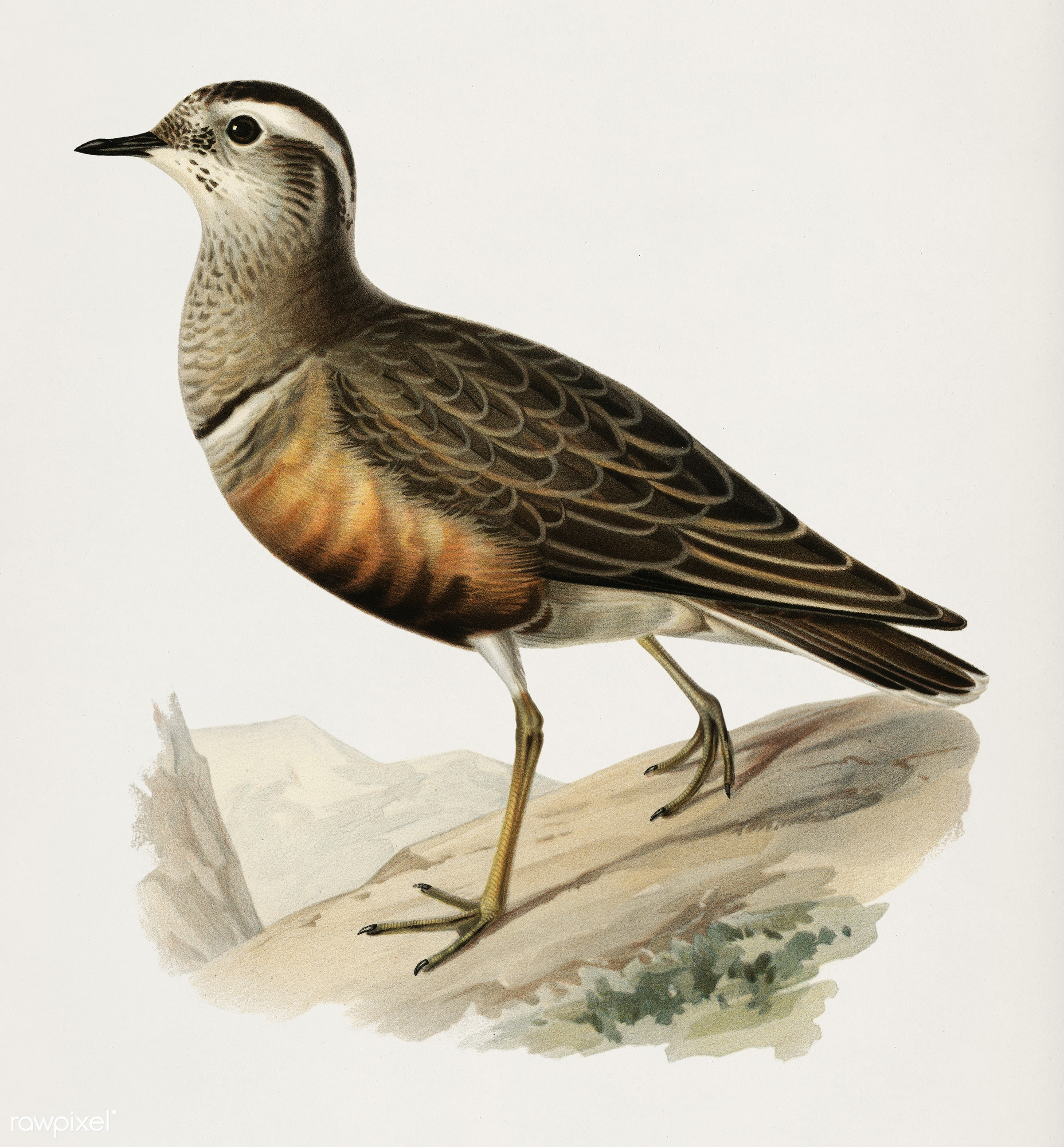 Eurasian dottere (charadrius (eudromias) morinellusl) illustrated by the von Wright brothers. Digitally enhanced from our...
