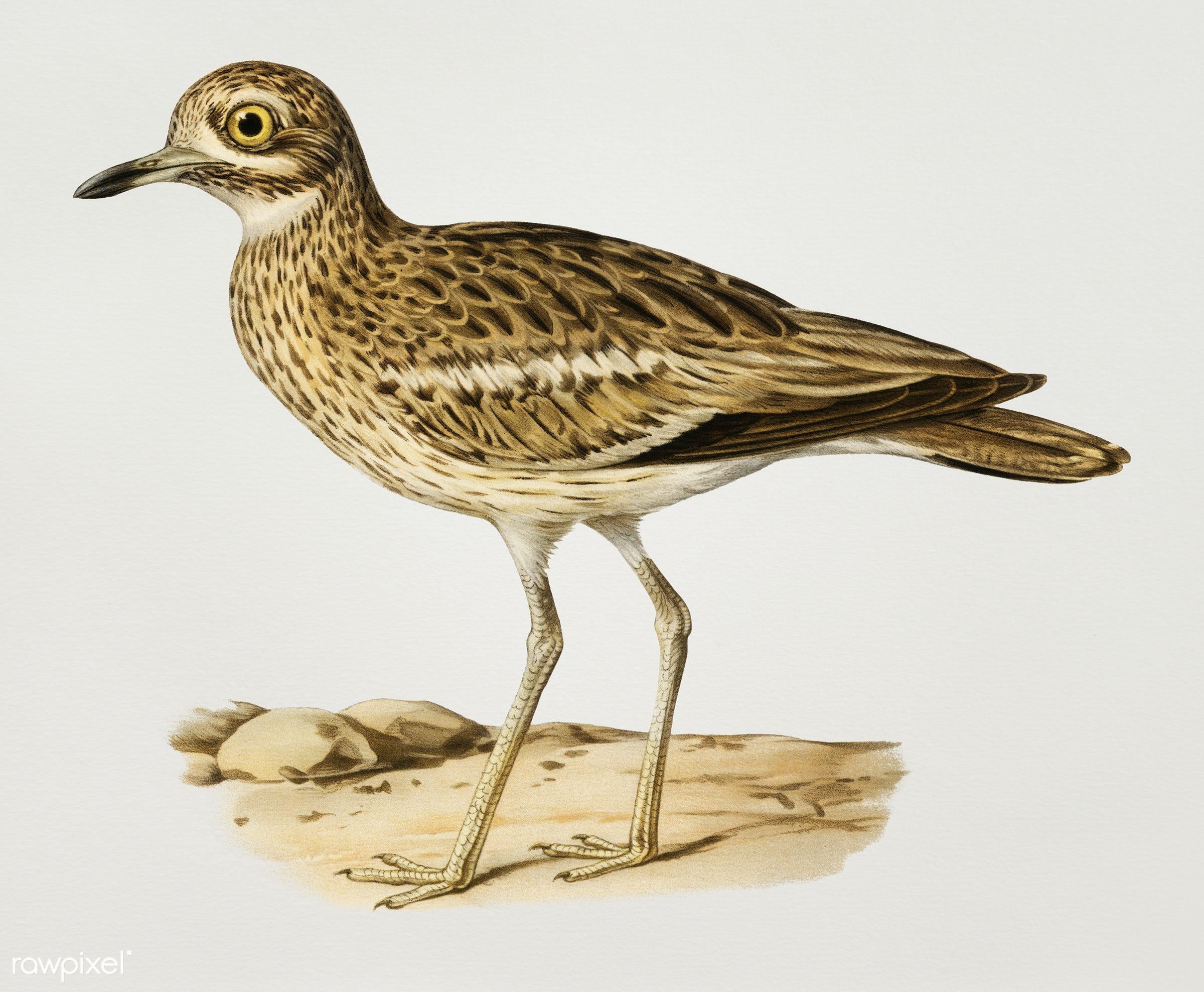 Burhinus oedicnemus ♀ (Eurasian stone curlew) illustrated by the von Wright brothers. Digitally enhanced from our own 1929...