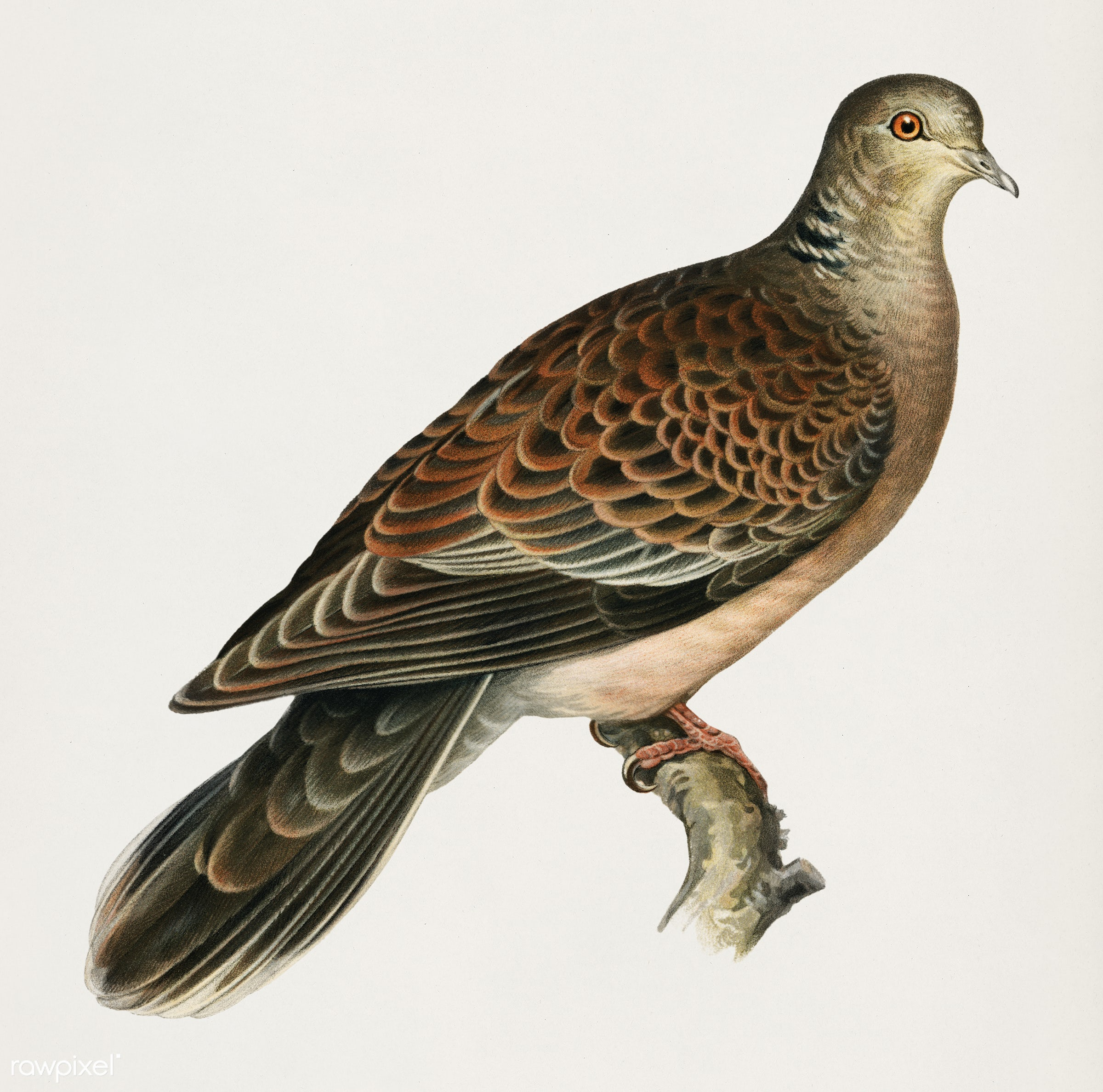 Oriental turtle dove ♀ (Streptopelia orientalis) illustrated by the von Wright brothers. Digitally enhanced from our own...