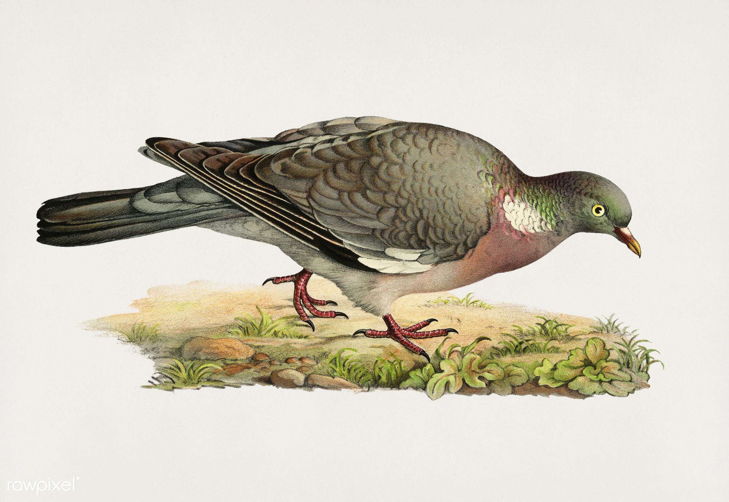 Common wood pigeon ♂ (Columba palumbus) illustrated by the von Wright brothers. Digitally enhanced from our own 1929 folio...
