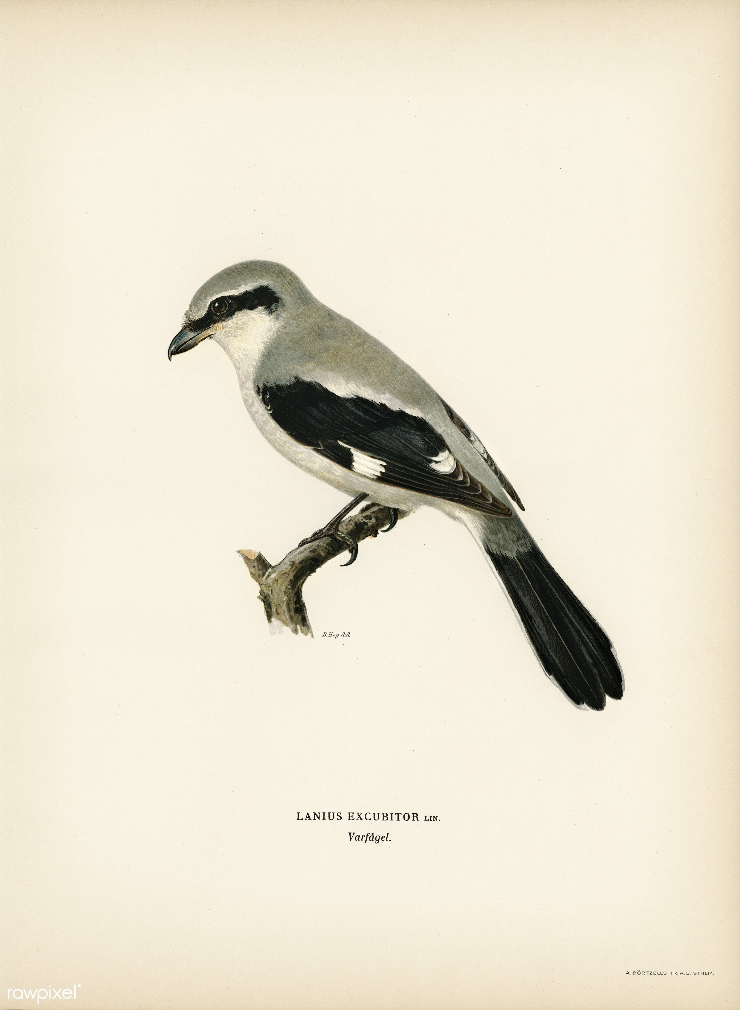 Great Grey Shrike (Lanius excubitor) illustrated by the von Wright brothers. Digitally enhanced from our own 1929 folio...