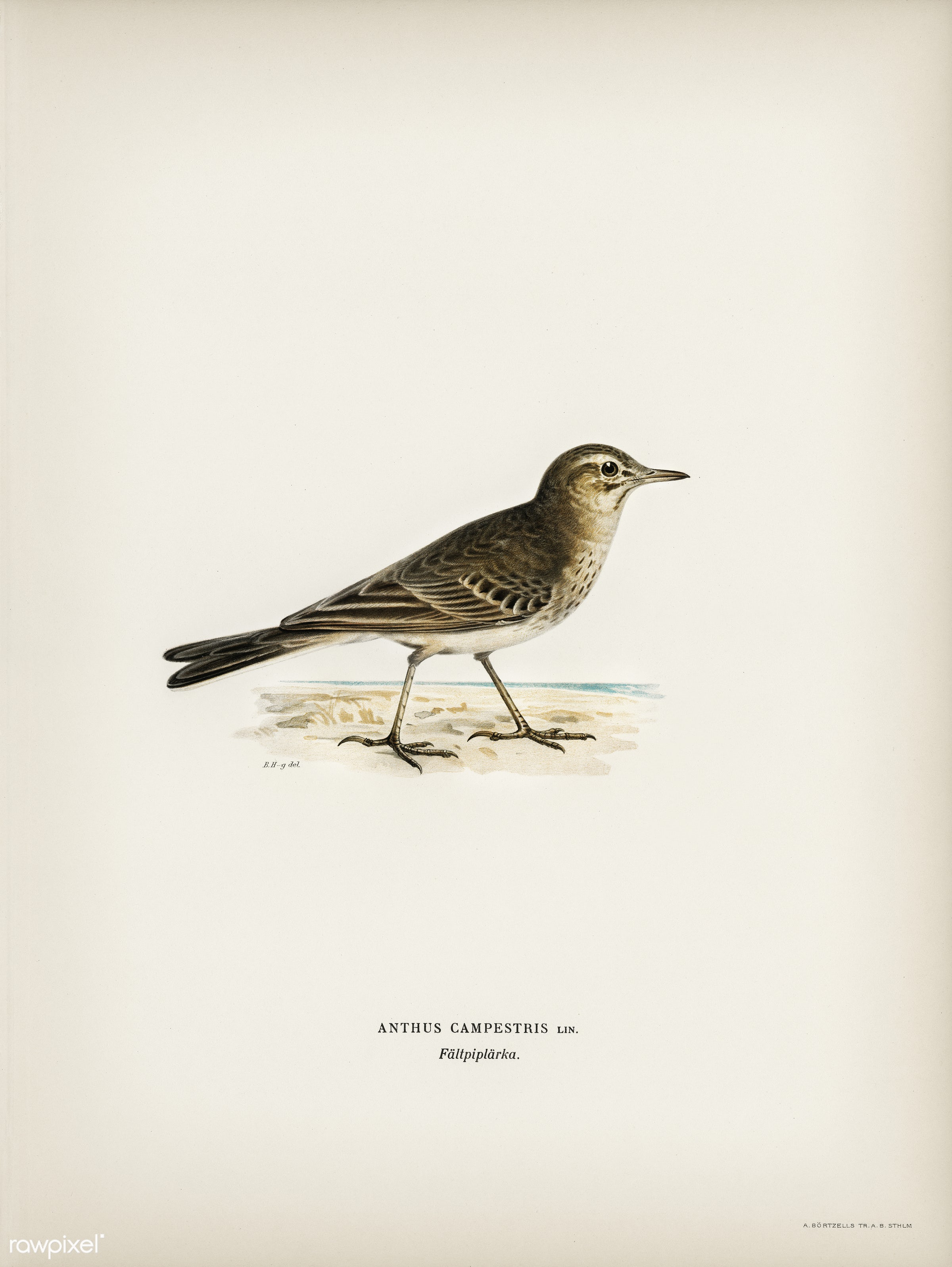 Tawny pipit (Anthus campestris) illustrated by the von Wright brothers. Digitally enhanced from our own 1929 folio version...