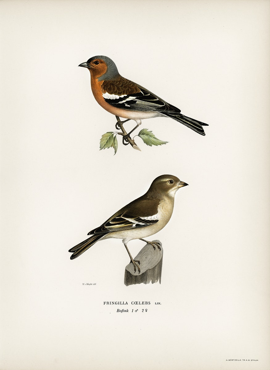Chaffinch male (Fringilla coelebs) illustrated by the von Wright brothers. Digitally enhanced from our own 1929 folio version…