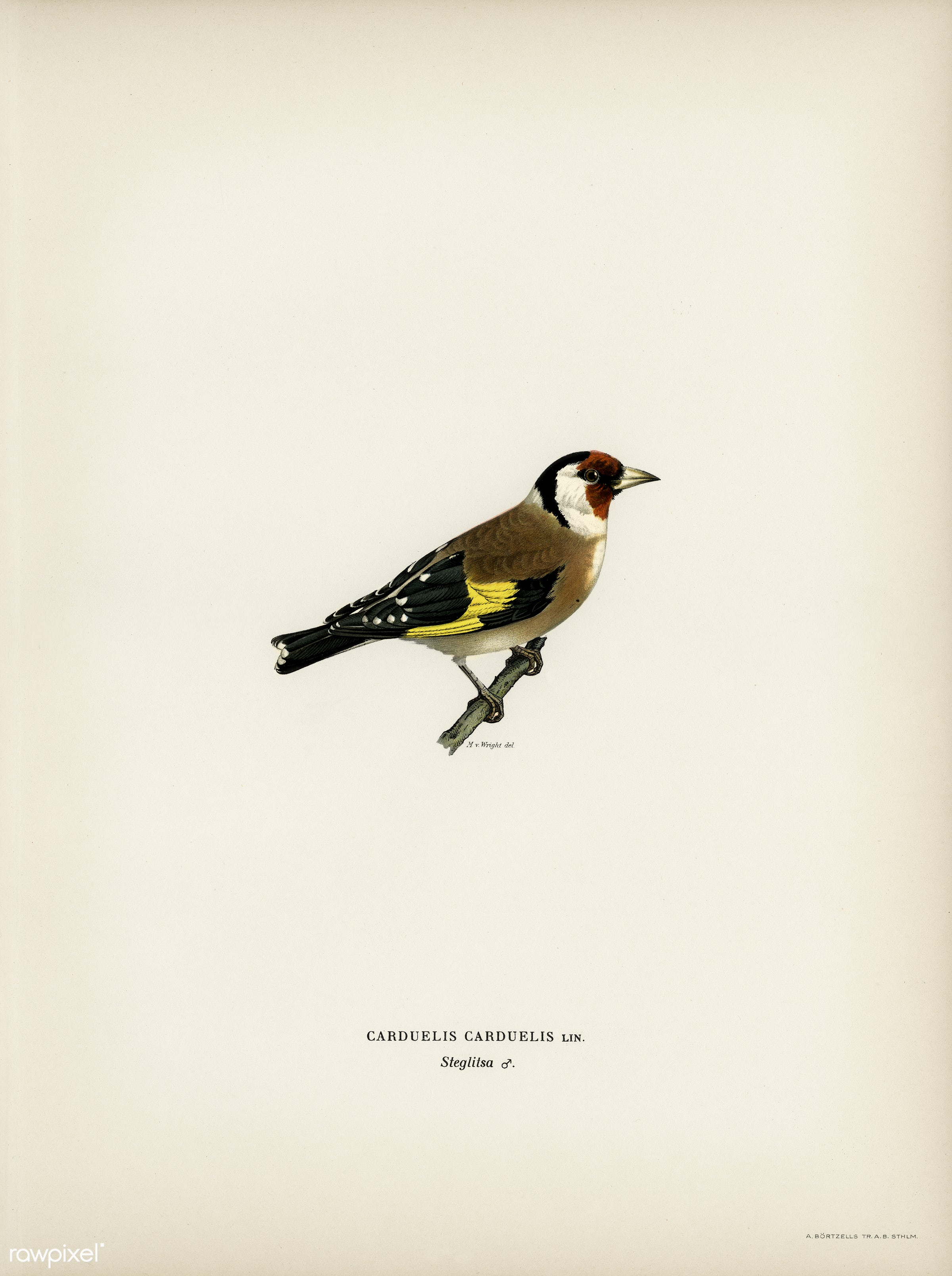 European Goldfinch (Carduelis carduelis) illustrated by the von Wright brothers. Digitally enhanced from our own 1929 folio...