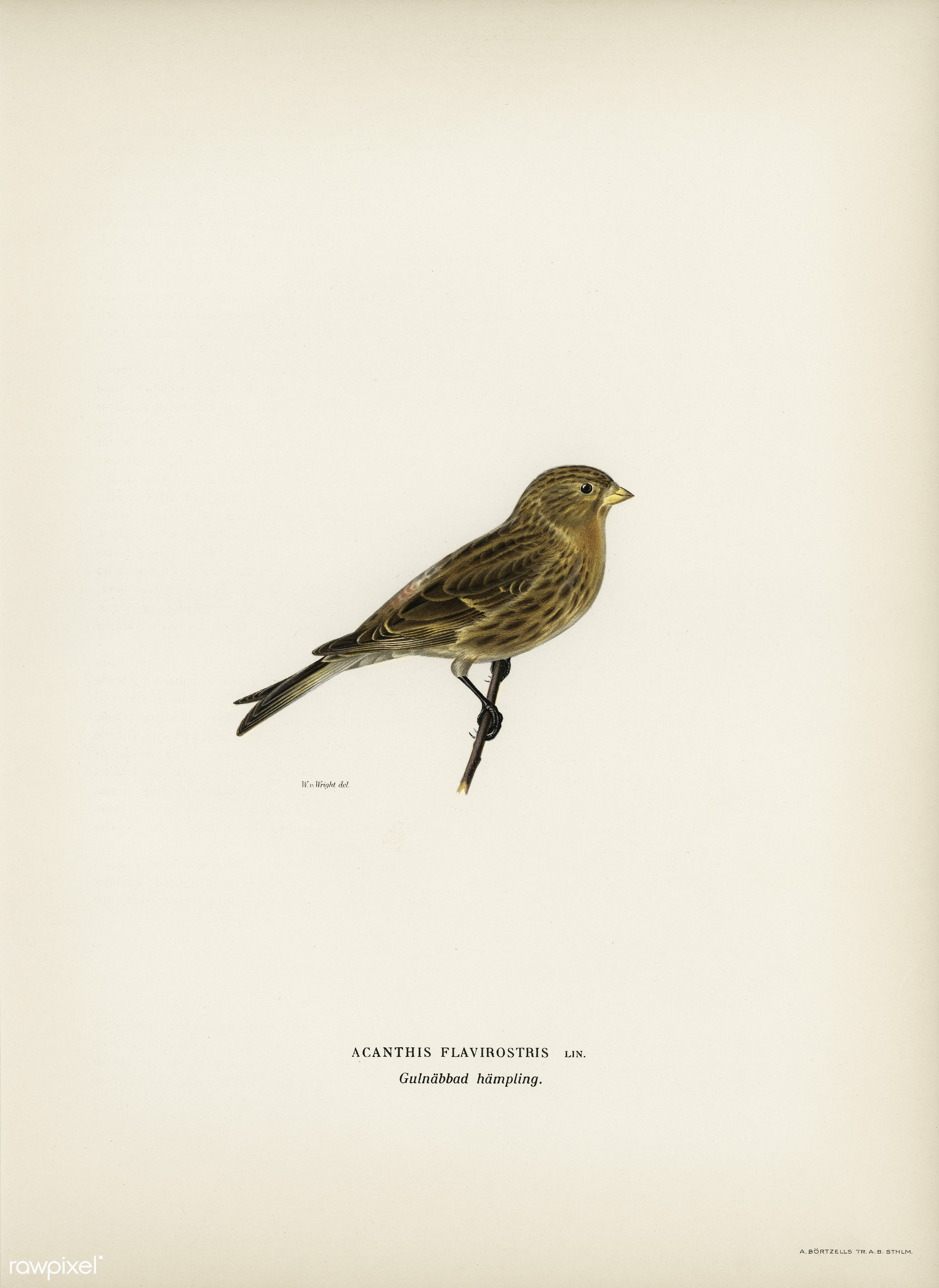 Twite (Acanthis flavirostris) illustrated by the von Wright brothers. Digitally enhanced from our own 1929 folio version of...
