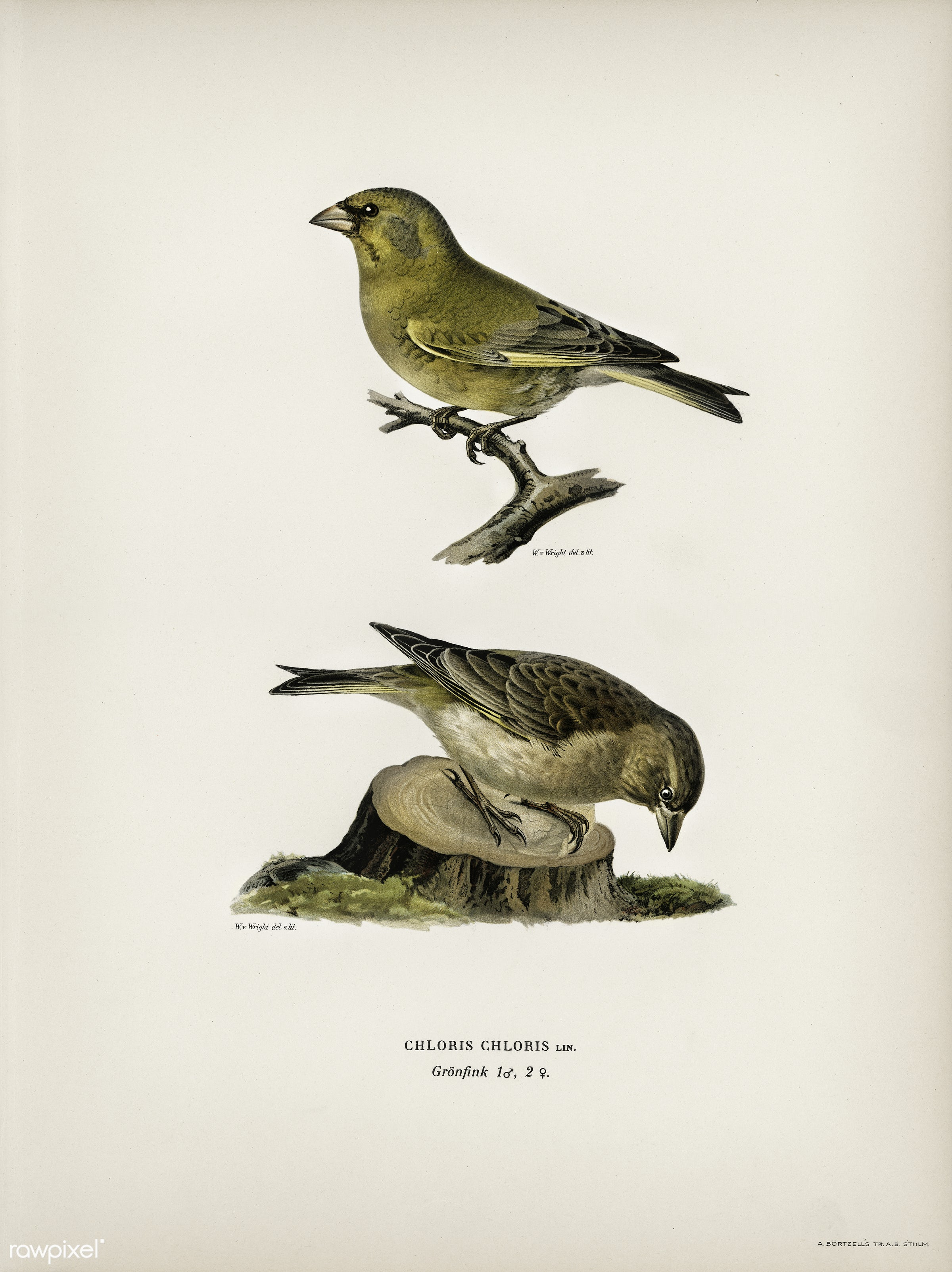 Chloris Chloris illustrated by the von Wright brothers. Digitally enhanced from our own 1929 folio version of Svenska F...