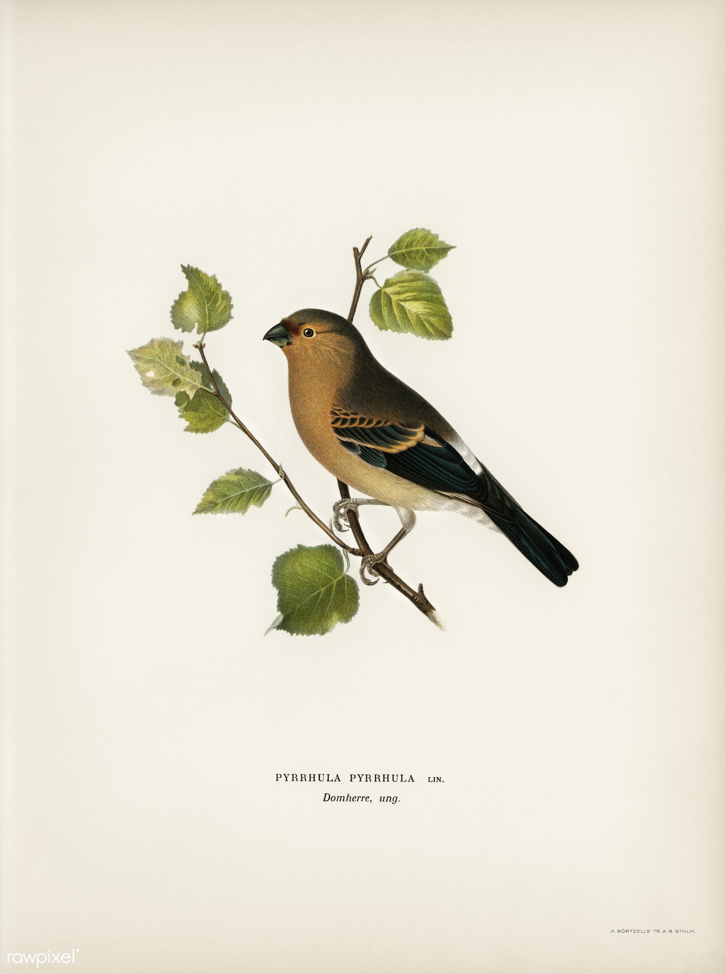 Eurasian Bullfinch (Pyrrhula pyrrhula) illustrated by the von Wright brothers. Digitally enhanced from our own 1929 folio...