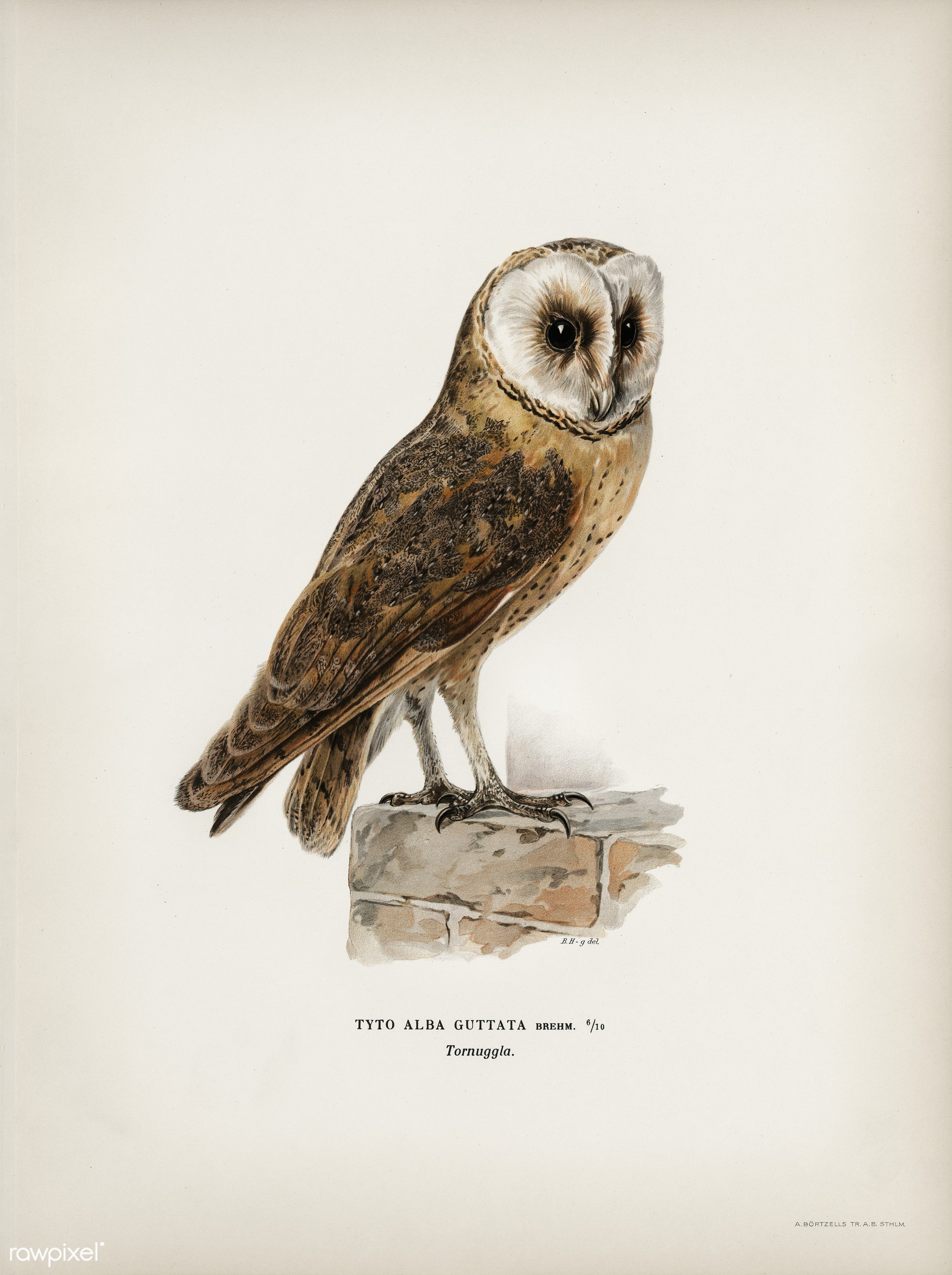 Tyto alba guttata owl illustrated by the von Wright brothers. Digitally enhanced from our own 1929 folio version of Svenska...