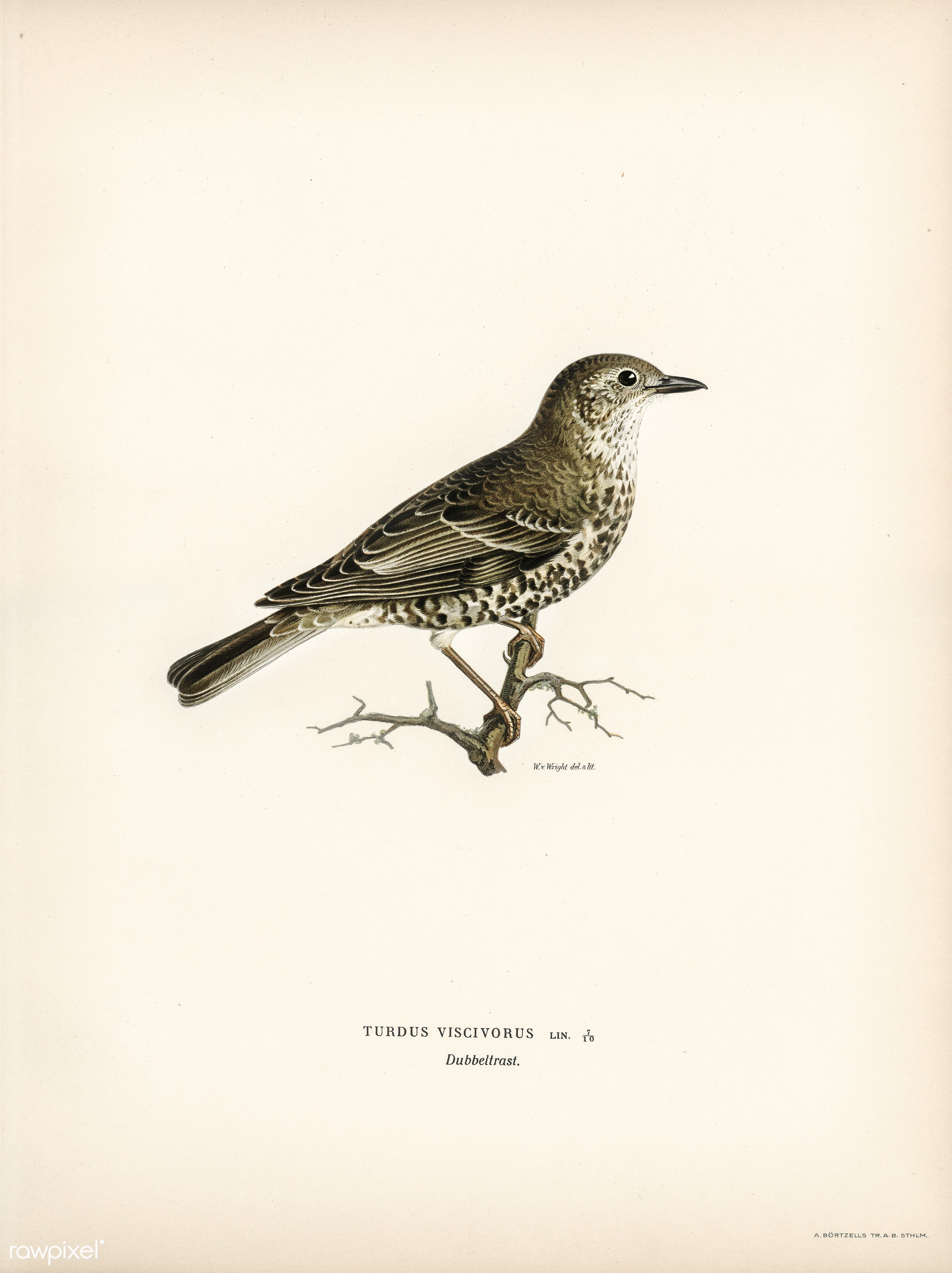 Turdus viscivorus illustrated by the von Wright brothers. Digitally enhanced from our own 1929 folio version of Svenska F...