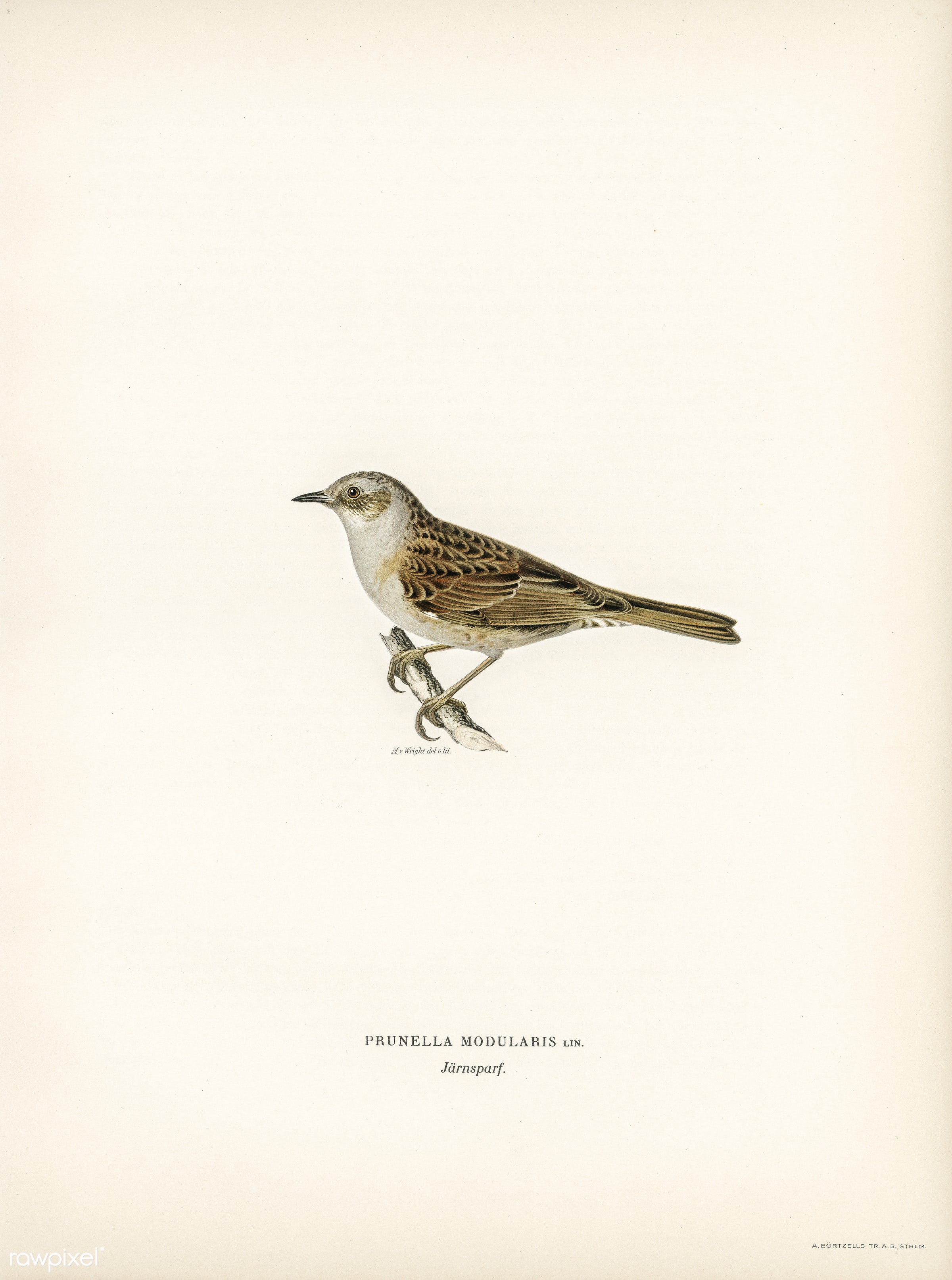 Prunella modularis illustrated by the von Wright brothers. Digitally enhanced from our own 1929 folio version of Svenska F...