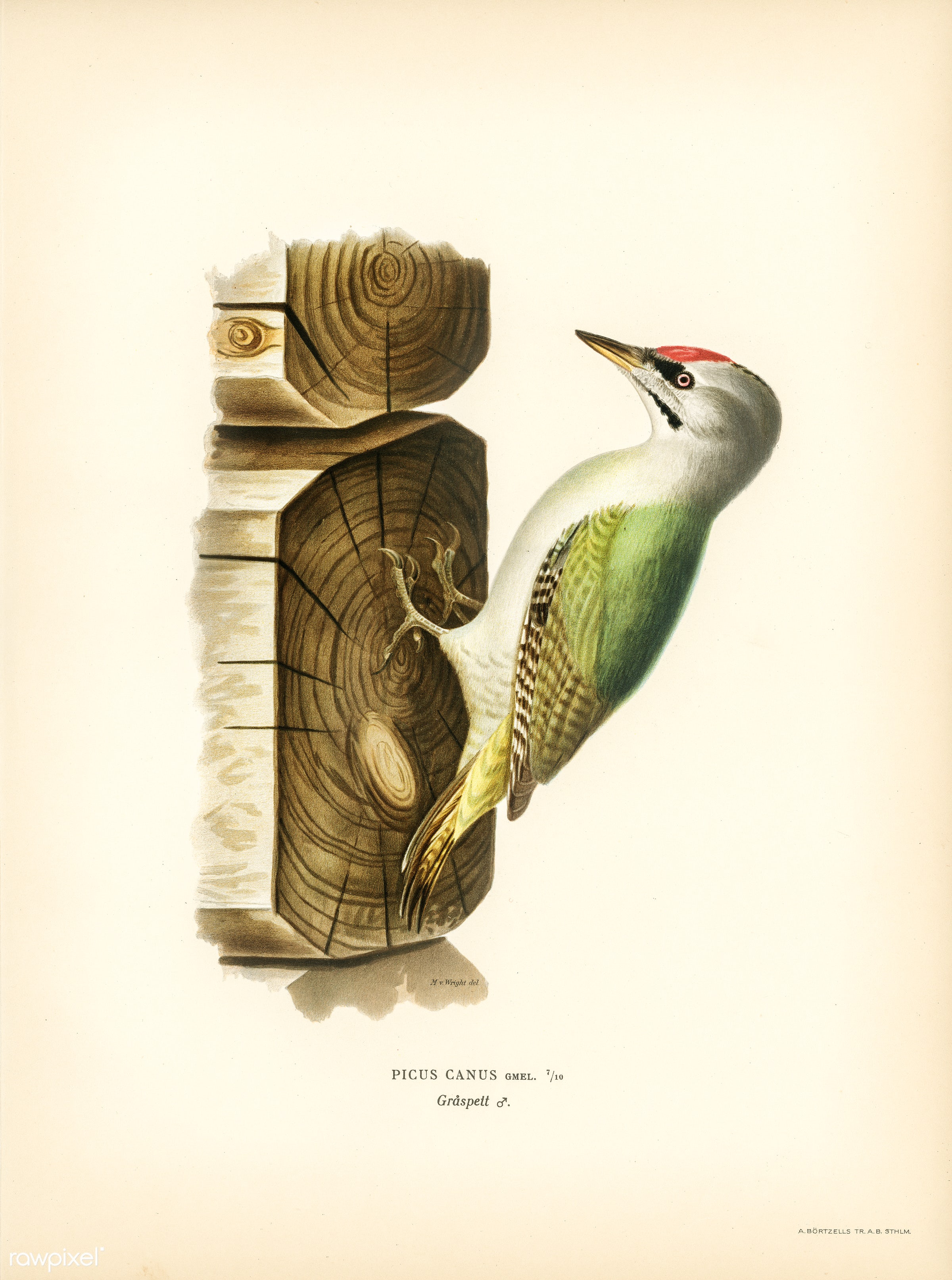 Picus canus ♂ illustrated by the von Wright brothers. Digitally enhanced from our own 1929 folio version of Svenska Få...
