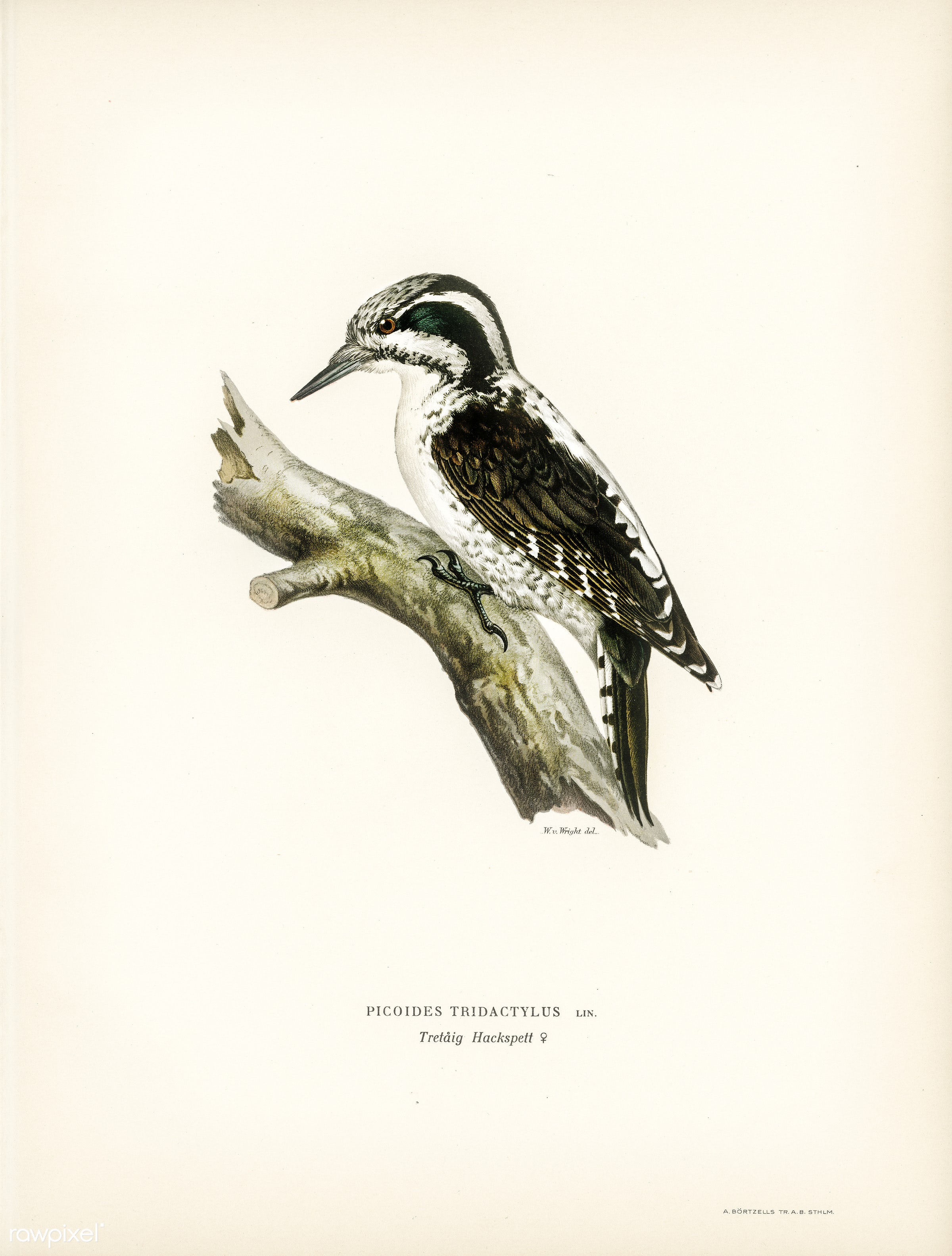 Three-toed woodpecker (Picoides Tridactylus) illustrated by the von Wright brothers. Digitally enhanced from our own 1929...