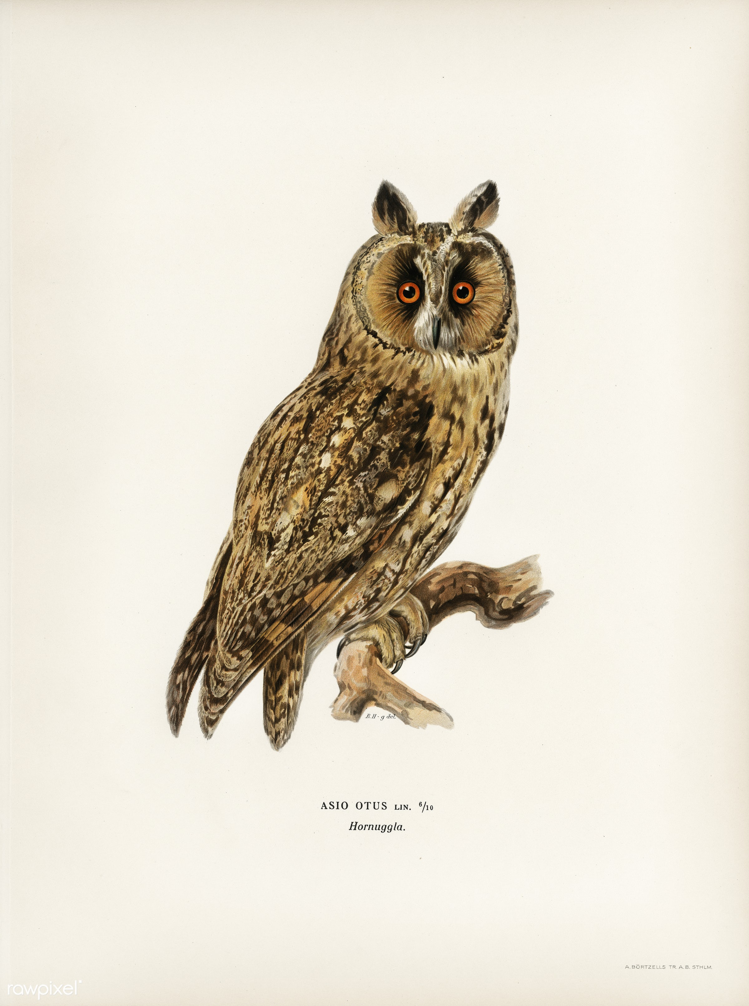 Asio otus owl illustrated by the von Wright brothers. Digitally enhanced from our own 1929 folio version of Svenska Få...
