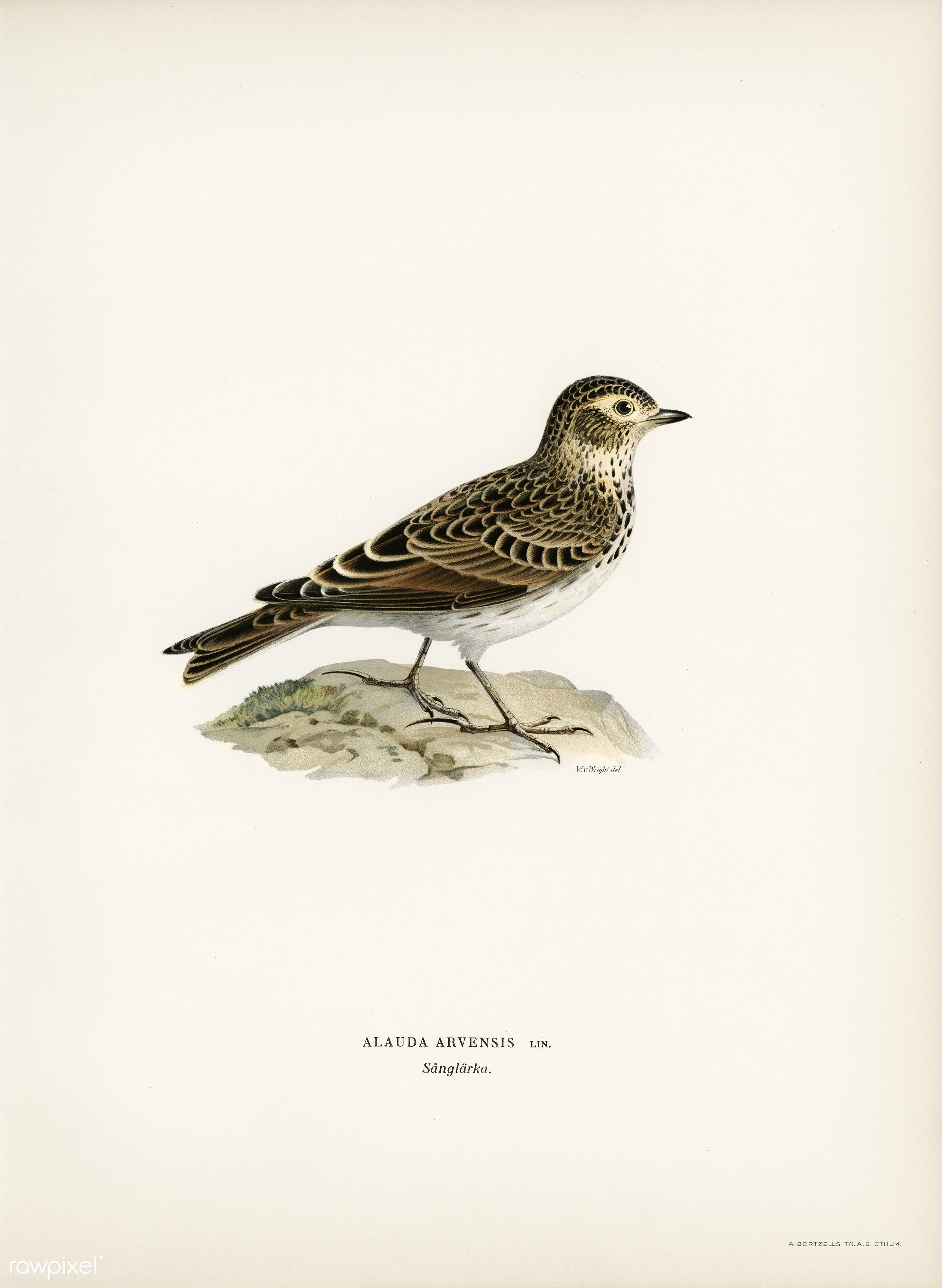 Eurasian skylark (Alauda arvensis) illustrated by the von Wright brothers. Digitally enhanced from our own 1929 folio...